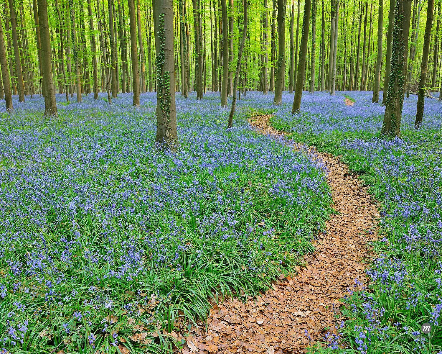 Path through Beech Forest with Bluebells in Spring, Hallerbos, Halle, Flemish Brabant, Vlaams Gewest, Belgium  © Raimund Linke / Masterfile