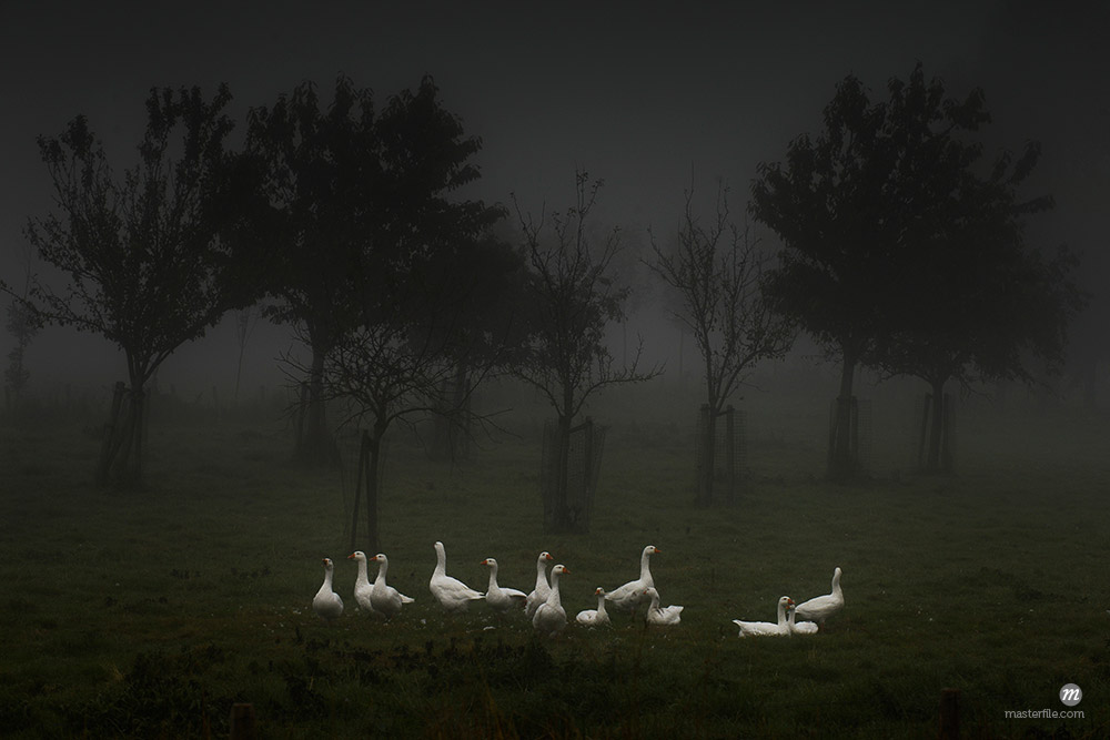 Flock of white geese in foggy field © Ben Seelt / Masterfile