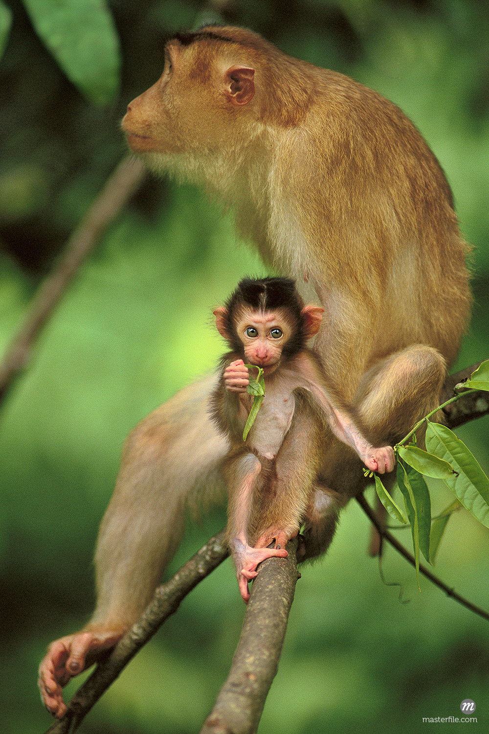 Pig-tailed macaque mother and infant, Macaca nemestrina, Bako National Park, Borneo © Masterfile
