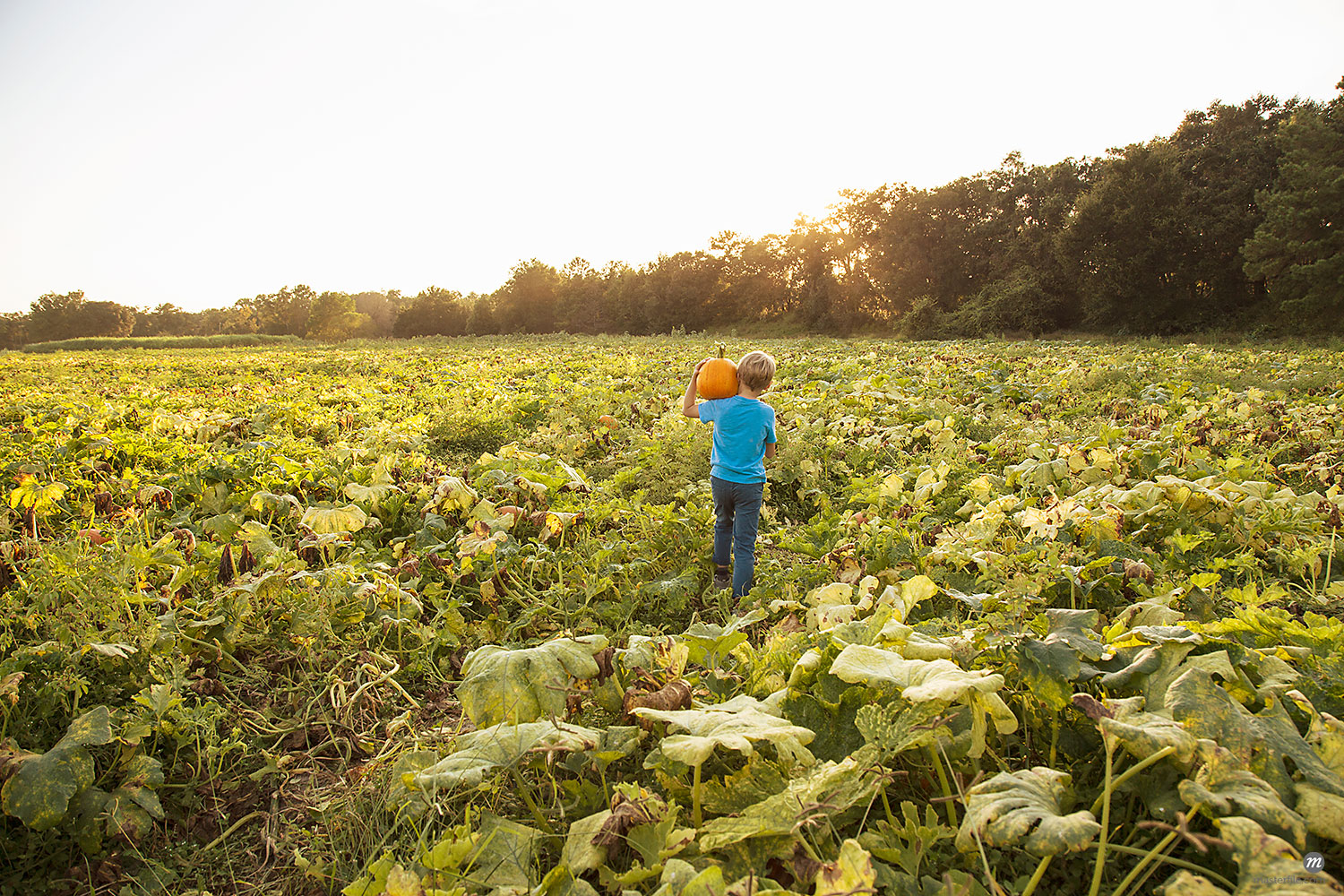Young boy in pumpkin patch, carrying pumpkin, rear view  © Masterfile