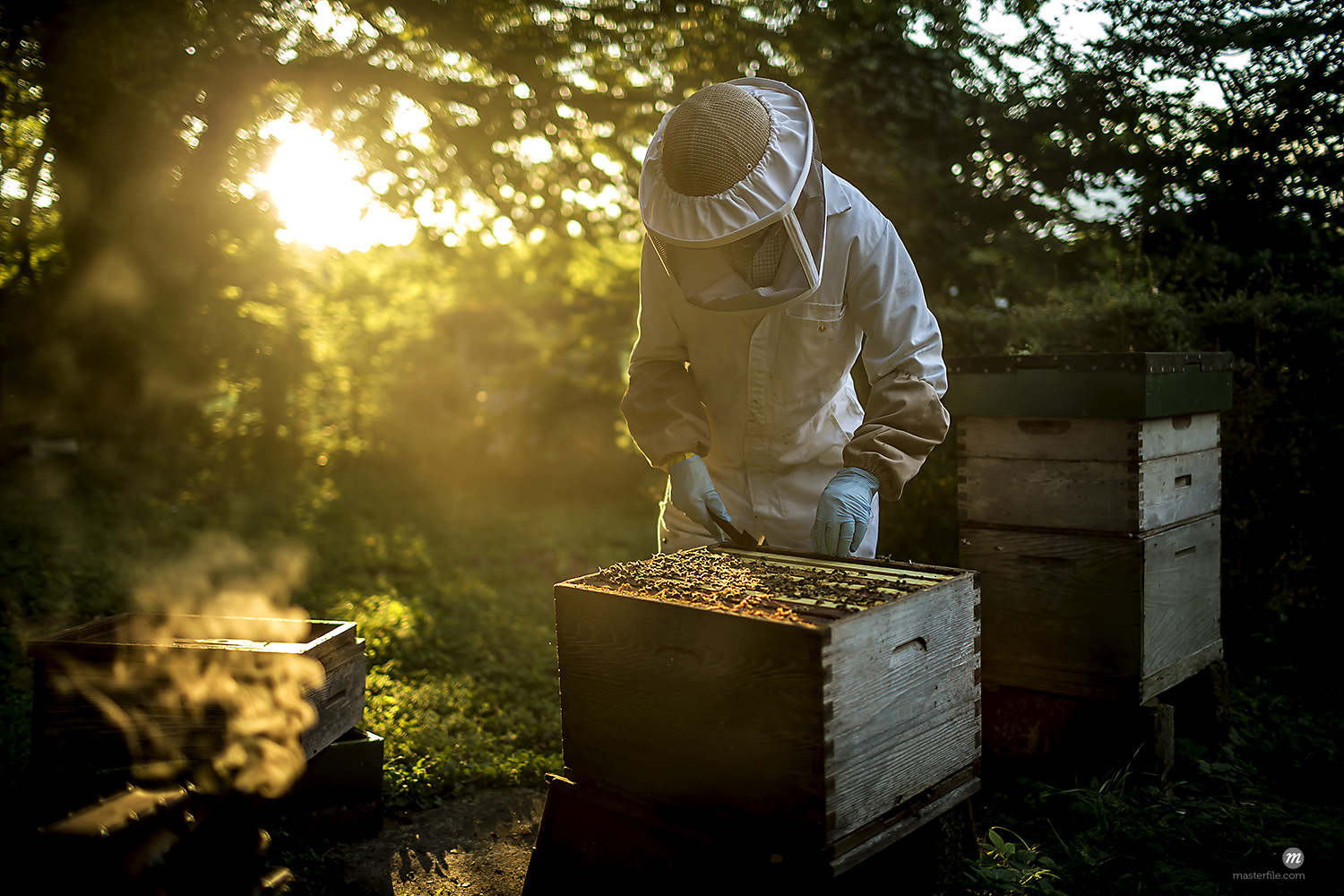 Beekeeper wearing a beekeeping suit with mesh face mask, inspecting an open beehive. Preparing to collect honey  © Masterfile