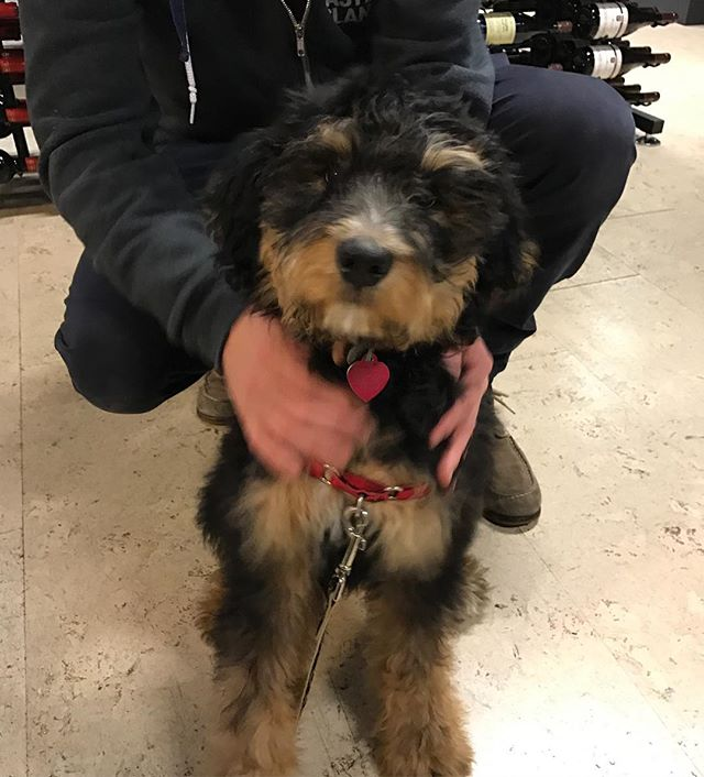 Here's Scout a Bermise Mountain Poodle mix! 4 months old.
