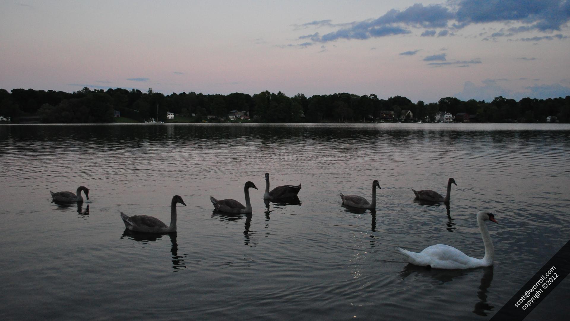 Lake Beseck Swans