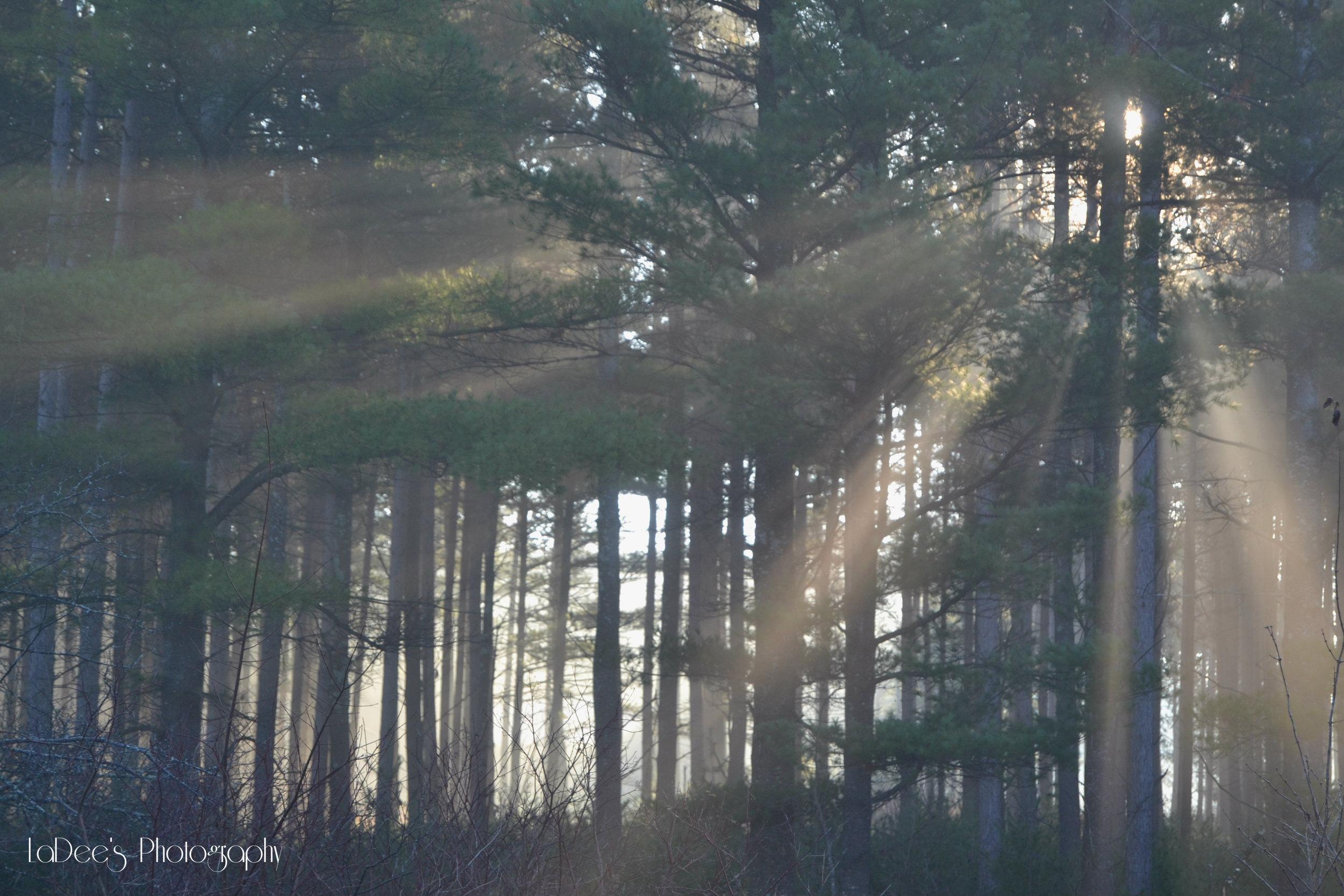 sun through pines, marked.jpg