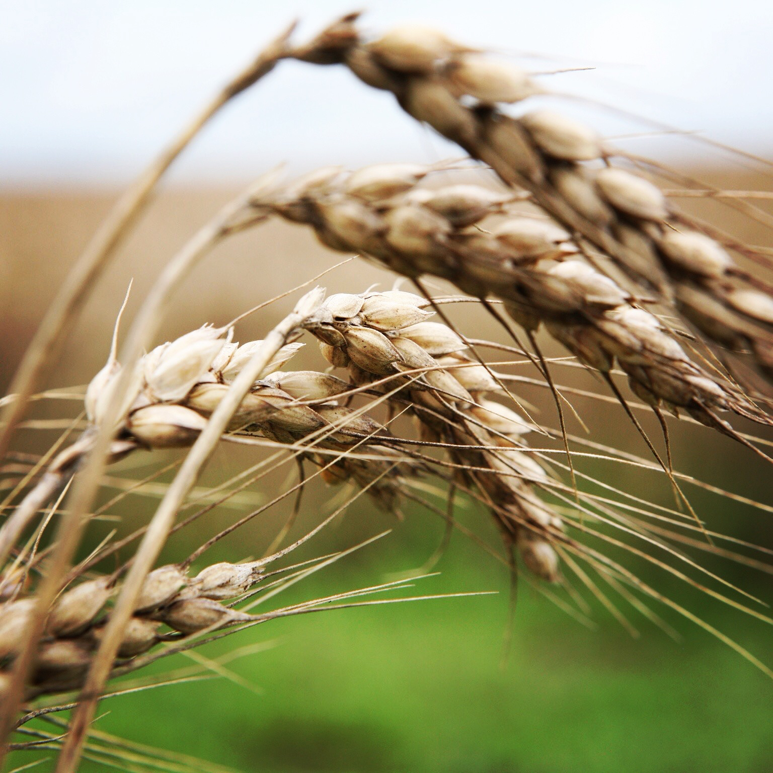 Carter Farms soft red wheat