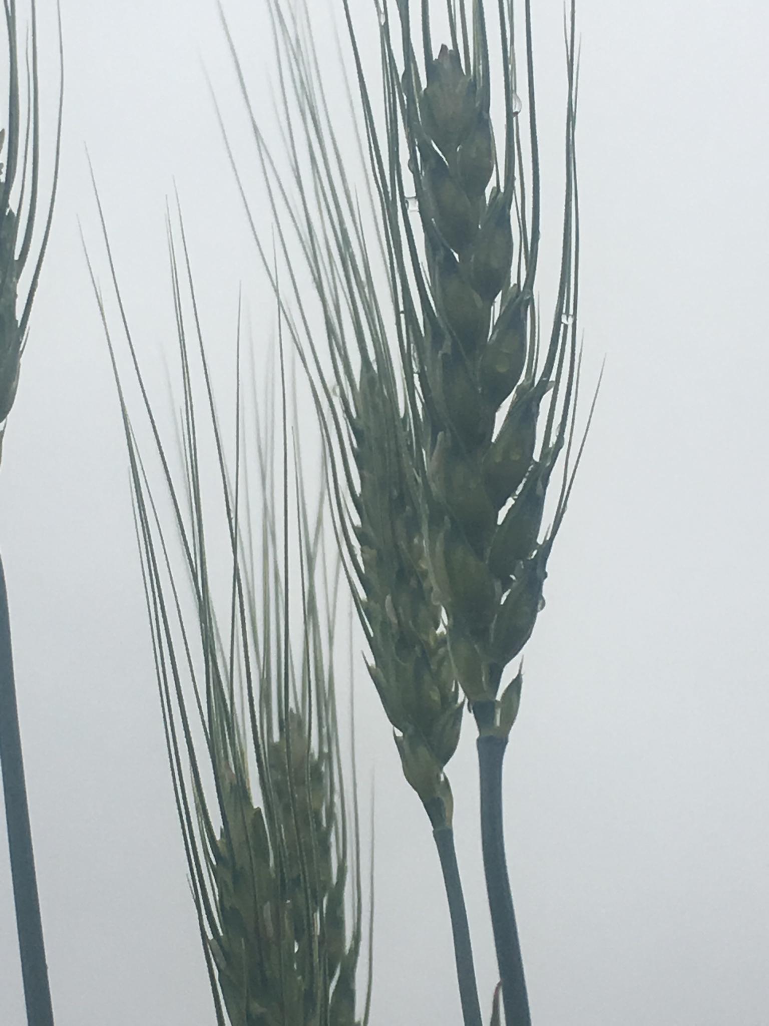 Sugar Hill Grain , Nu East HRW
