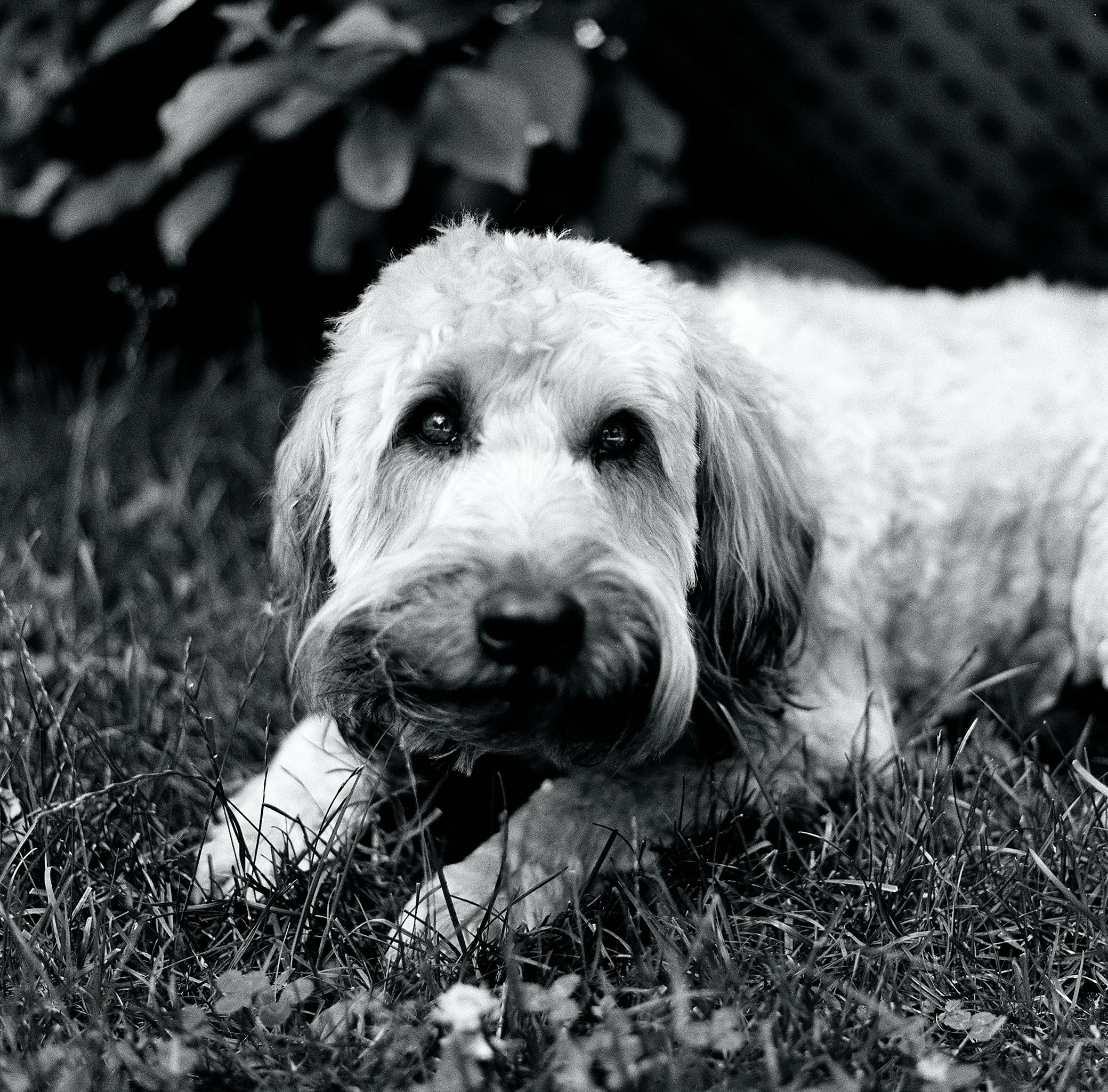lauren-ashmore-oscar-dog-cute-small-terrior-grass-bw-black-white-120-kodak-medium-format