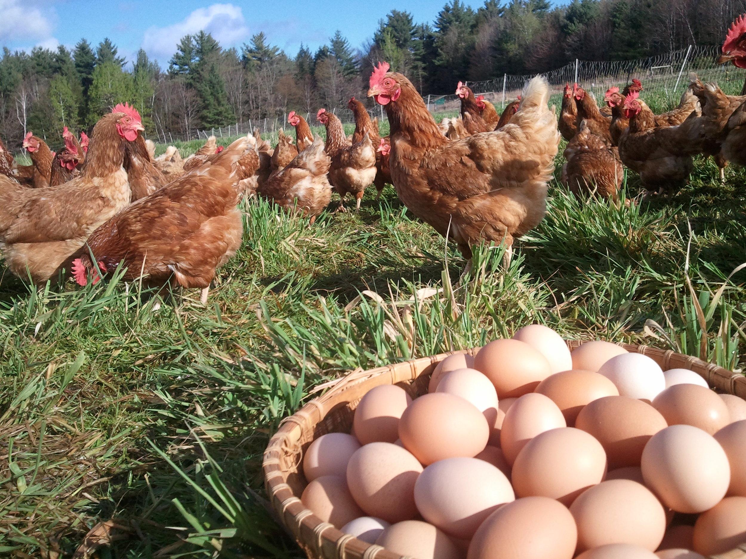 eggs10_chicken.jpg