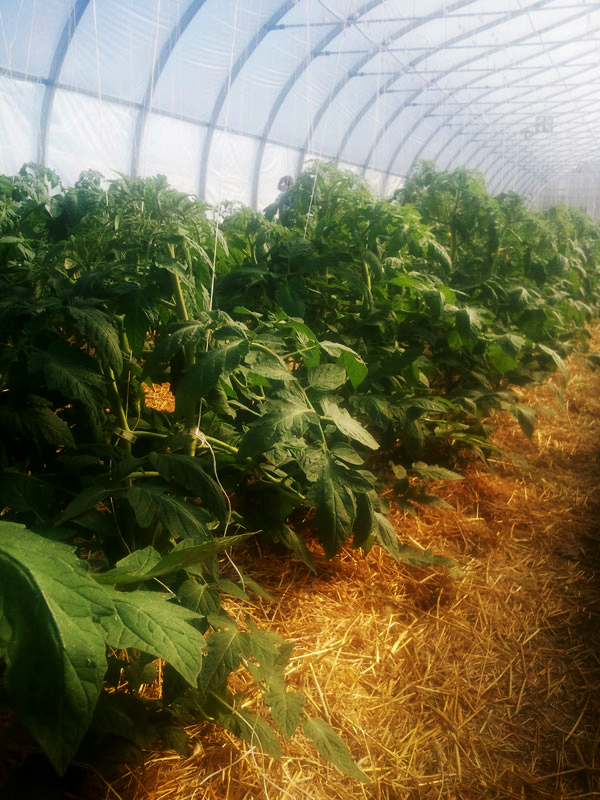 Tomatoes Growing in our New Hoophouse!