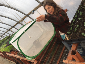 "Juliette, our Greenhouse Manager, with a newly seeded ""banker plant"" before it was transplanted into hoophouse"