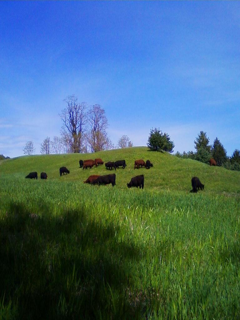 cows-pasture-2.jpg