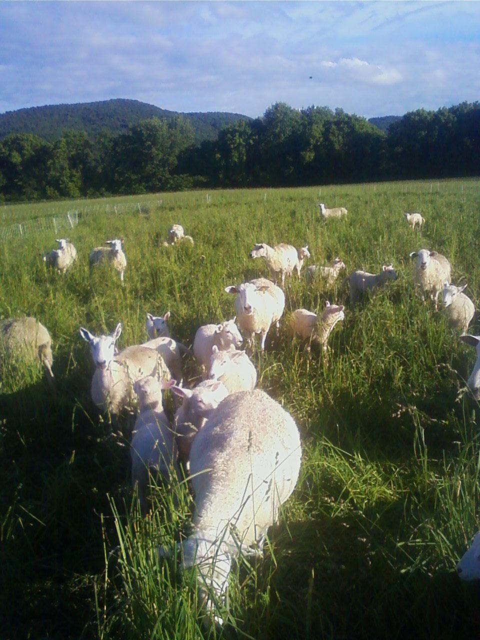 lamb-pasture.jpg