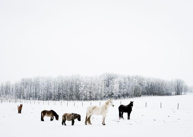 Frosty ponies on a -25C day . . . . . . #winter #coldweather #Fuji #fuji #fujifeed #fujixseries #fujilove #fujinon #fujifilmxseries #fujix #fujix100f #myfujifeed #fujifilmx100f #fujifilmph #fujifollowme #horse #horses #horsepower #horsesofinstagram #horselover #horsestagram #horsephotography #horselovers #horseofinstagram  #horseoftheday #horsesofig #horseart #greatlight #reportagespotlight @travelalberta @_fujilove_