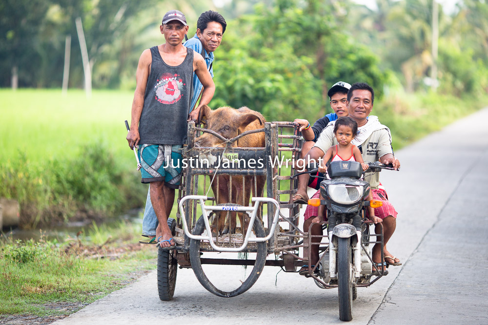 Provincial Life,Sultan Kudarat, Mindanao, Philippines   A pig is transported on a tricycle to a neighboring farm for mating  Philippine Image # 4020  If you wish to purchase a photography print of this image, or would like to license this image please contact us using the form below.  Please kindly include the Image Title and Image Ref # in your message, we will get back to you.