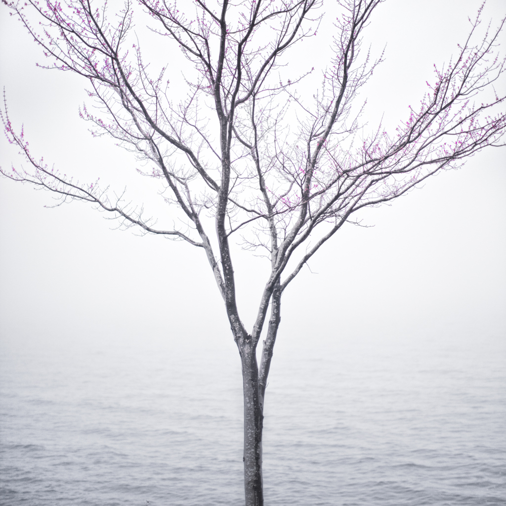 Spring Tree in Fog, 2012