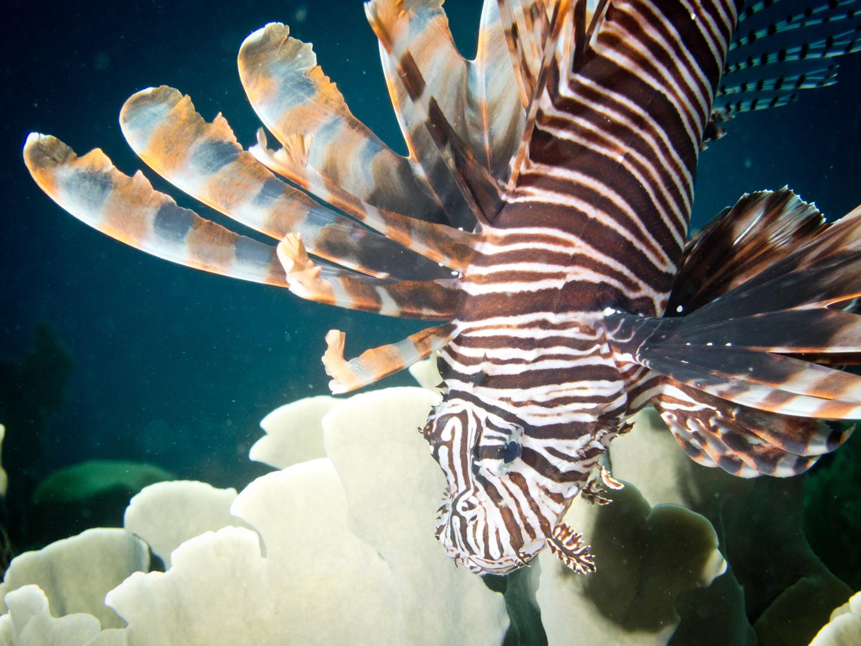 Honduras_UW_Lionsfish-2_web.jpg