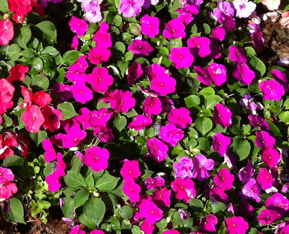 Impatiens planted last year on the northeast 50.