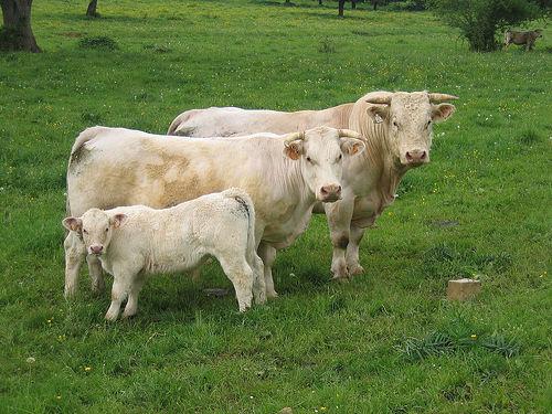 A bull, a cow, and a calf