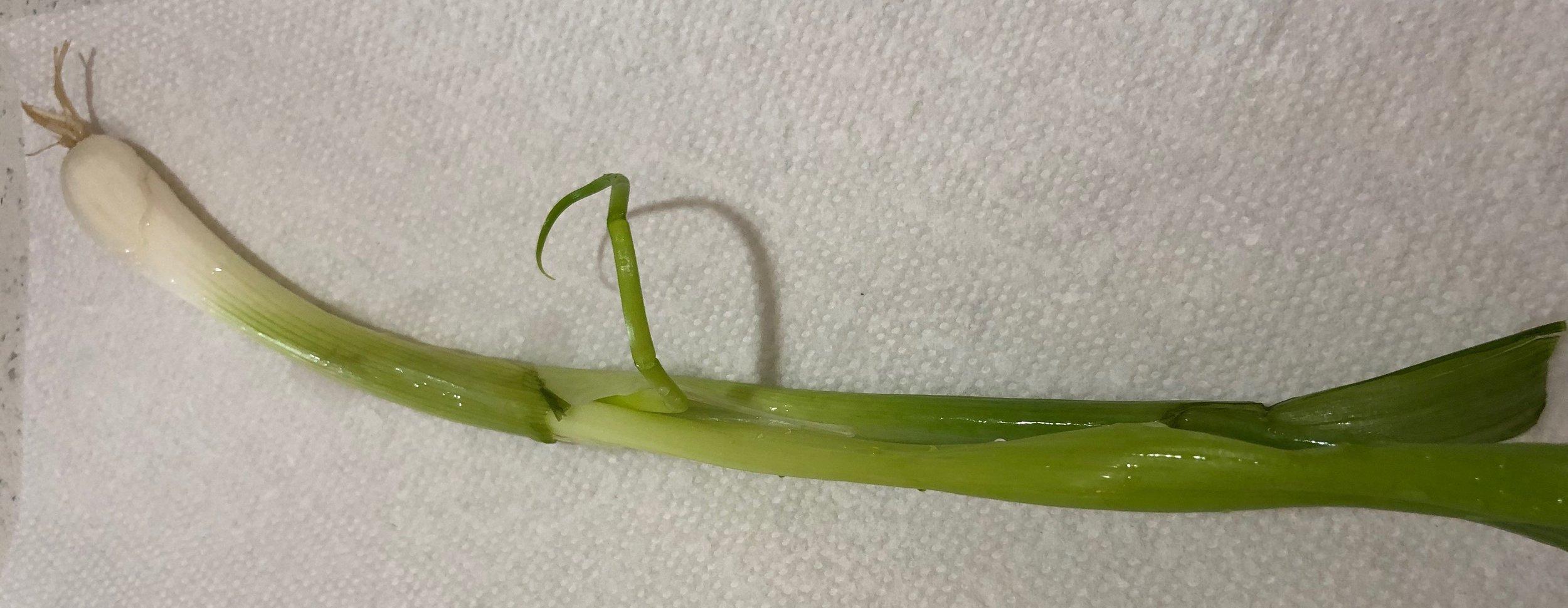 Scallion, NOT spring onion