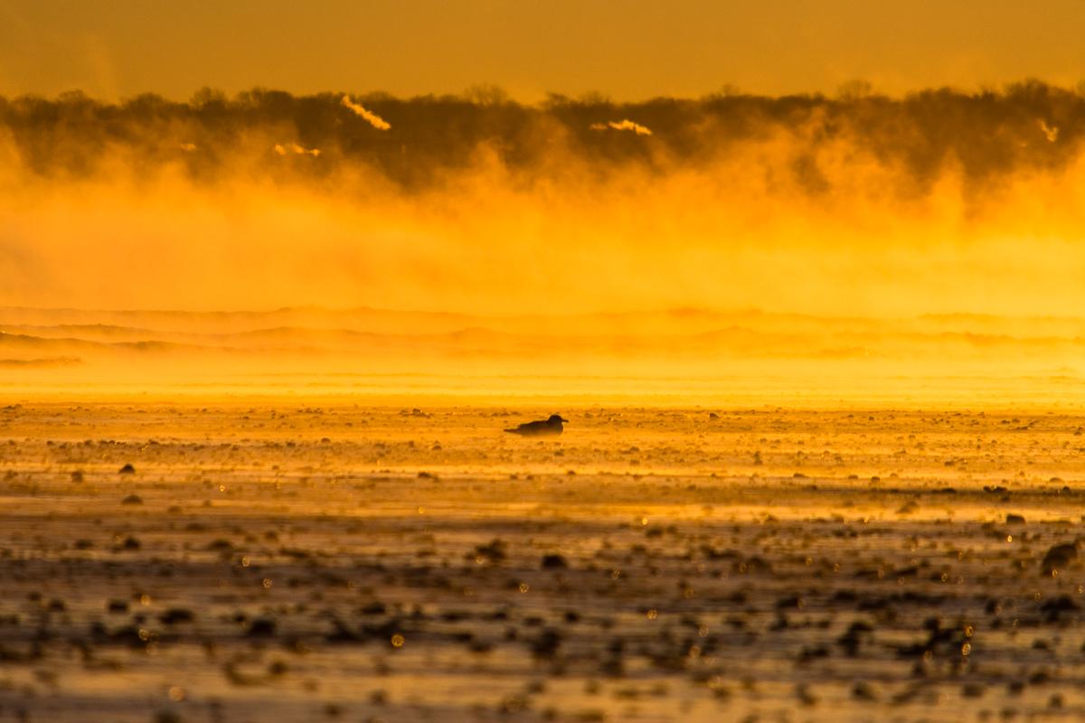 Seagull and Sea Smoke, Nantasket Beach, MA, January 2014, Nikon DSLR