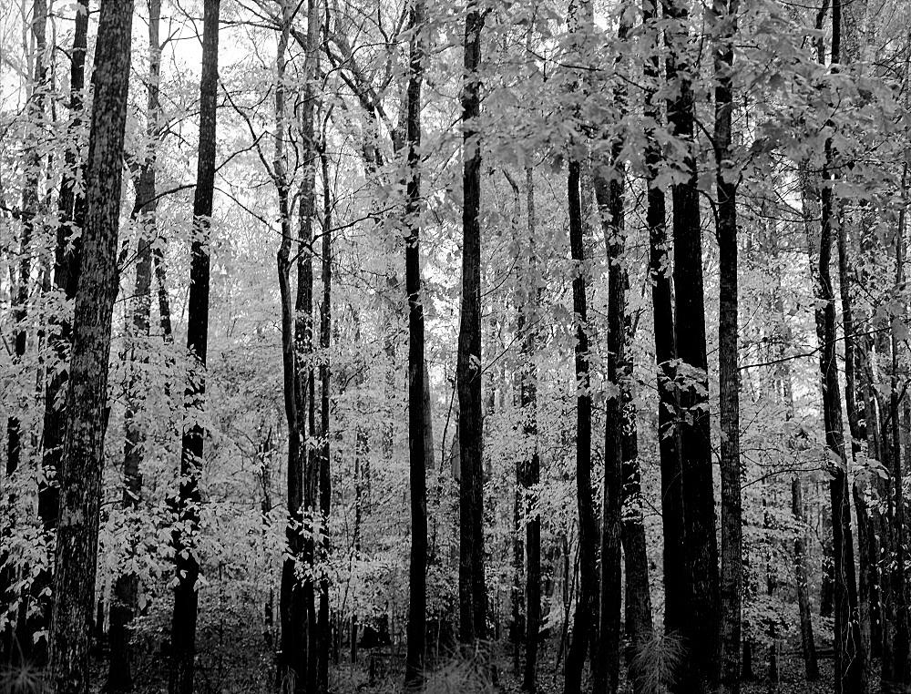 river trail trees 2 resize.jpg