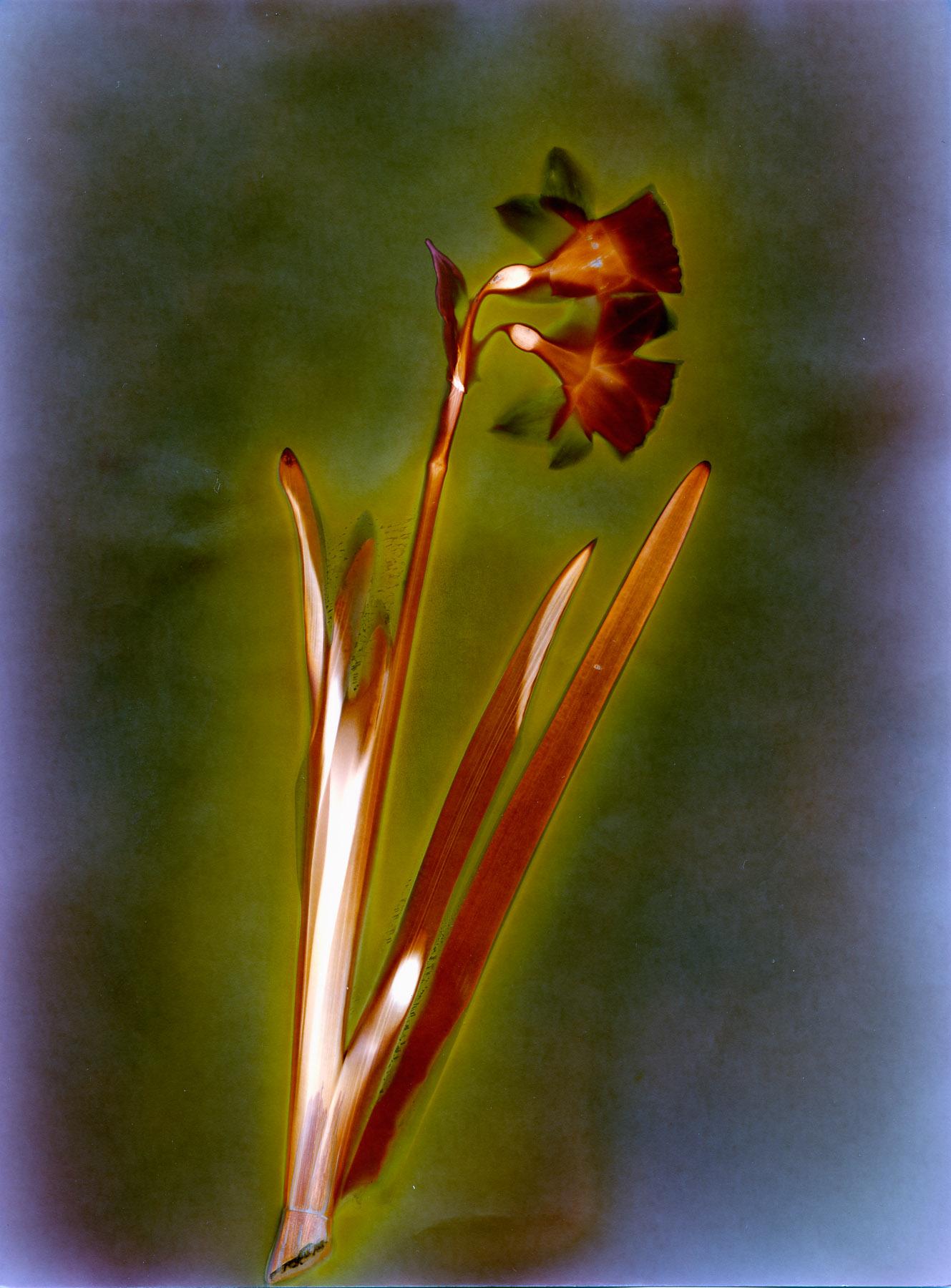 Lumen Daffodil | Ilford MGFB | Marie Westerbom