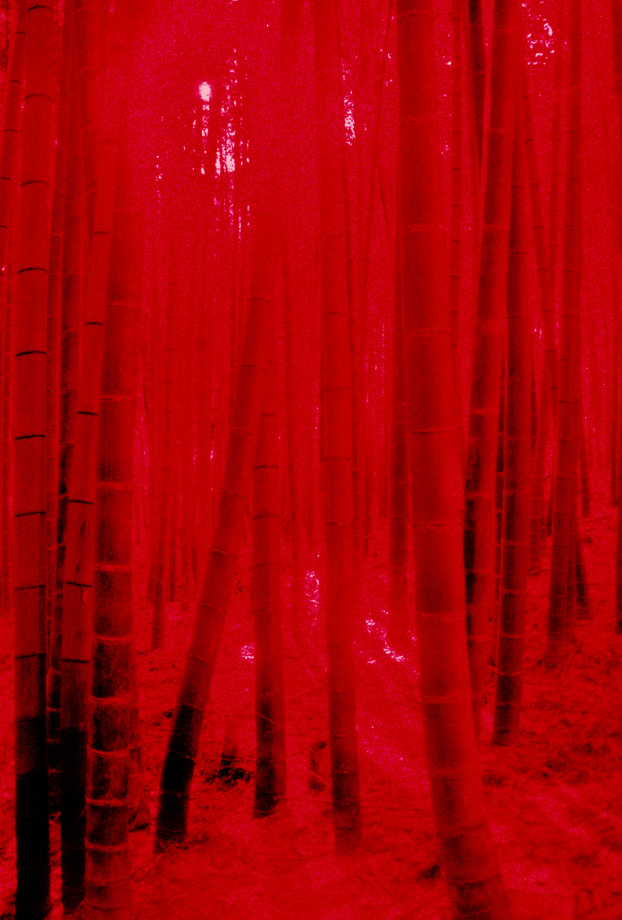 Light Patched Bamboo Forest | Canon EOS 10QD | 35-80mm | Teresa Suratos