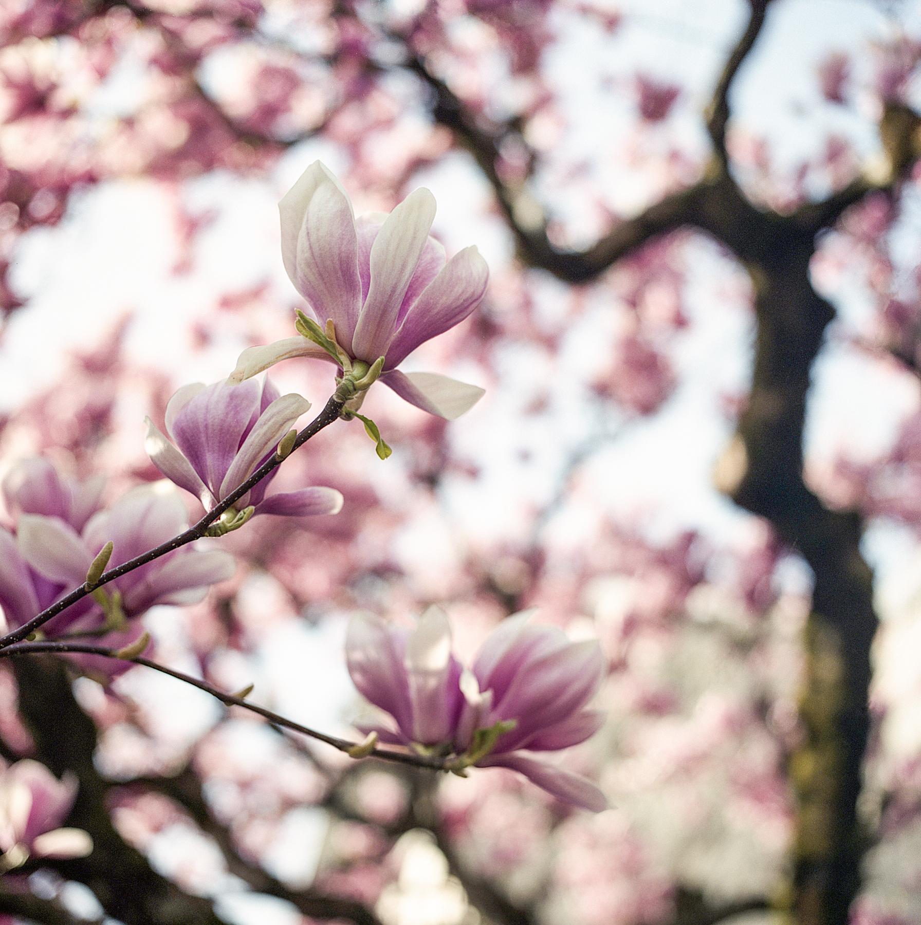 Magnolia | Hasselblad 500cm 80mm CT | Fuji Pro 160NS | Aaron Bieleck