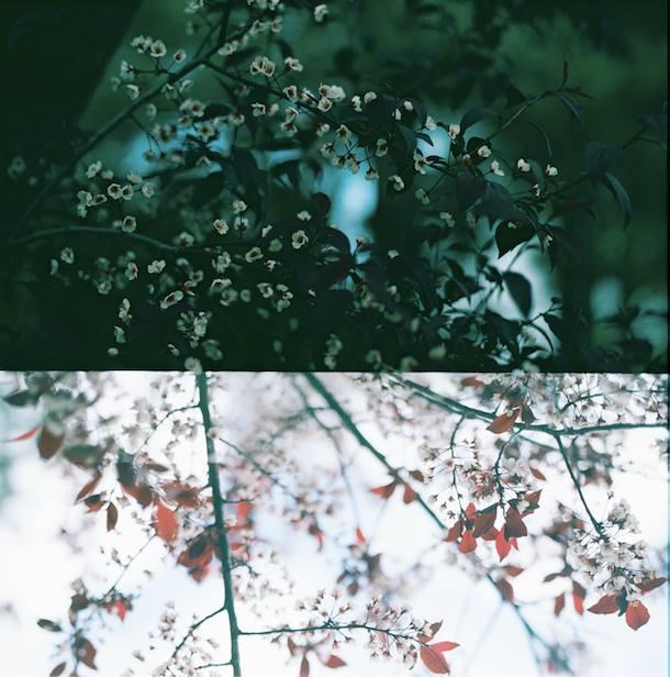 Cherry Tree | Canon TL | 50mm | Kodak Ektar100 | Jennifer Battis