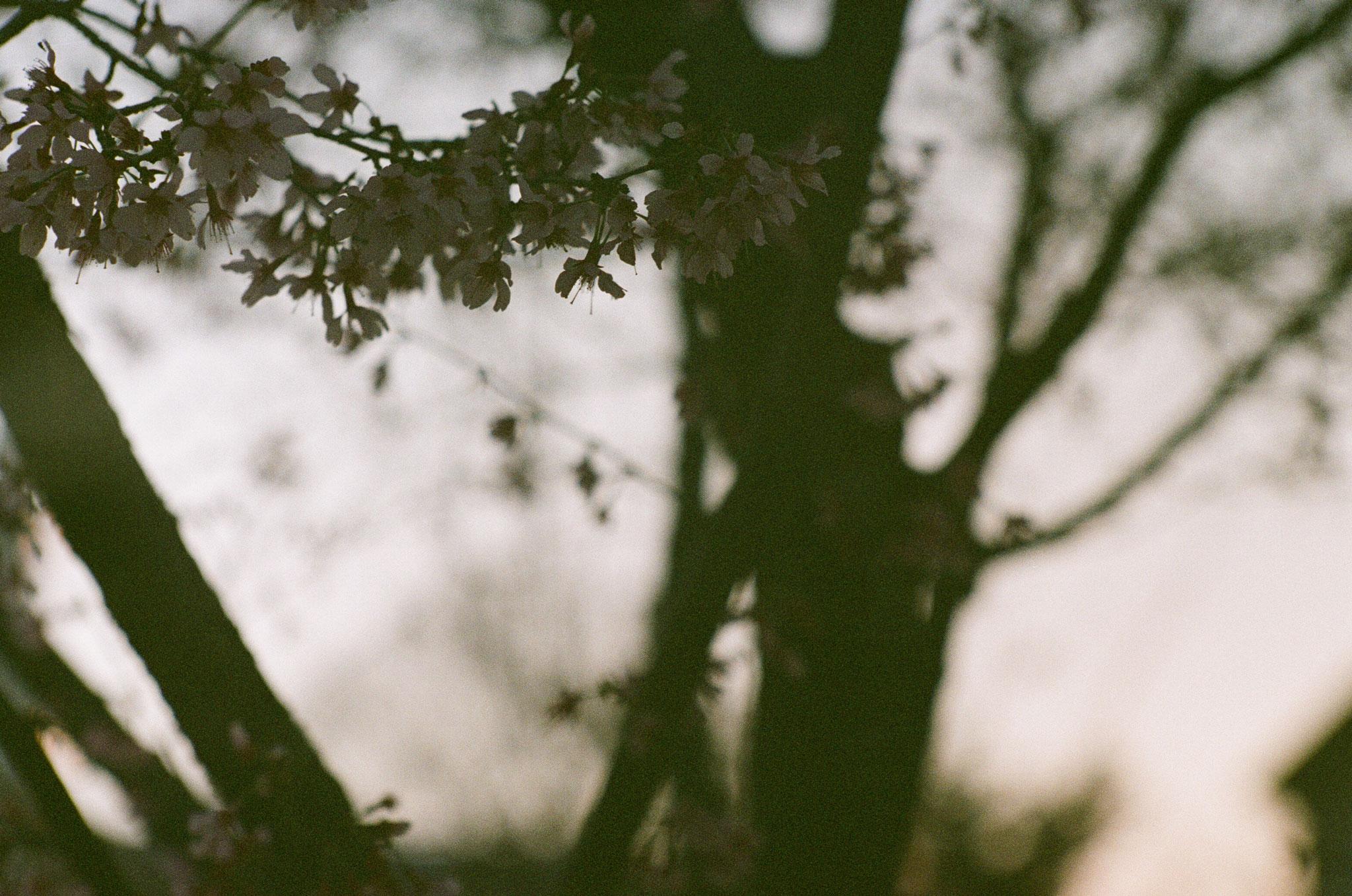 Adrian Gilliam | Japanese Apricot 5 | Zorki 4K | Jupiter 9, 85mm f2 | Kodak Pro 400MC