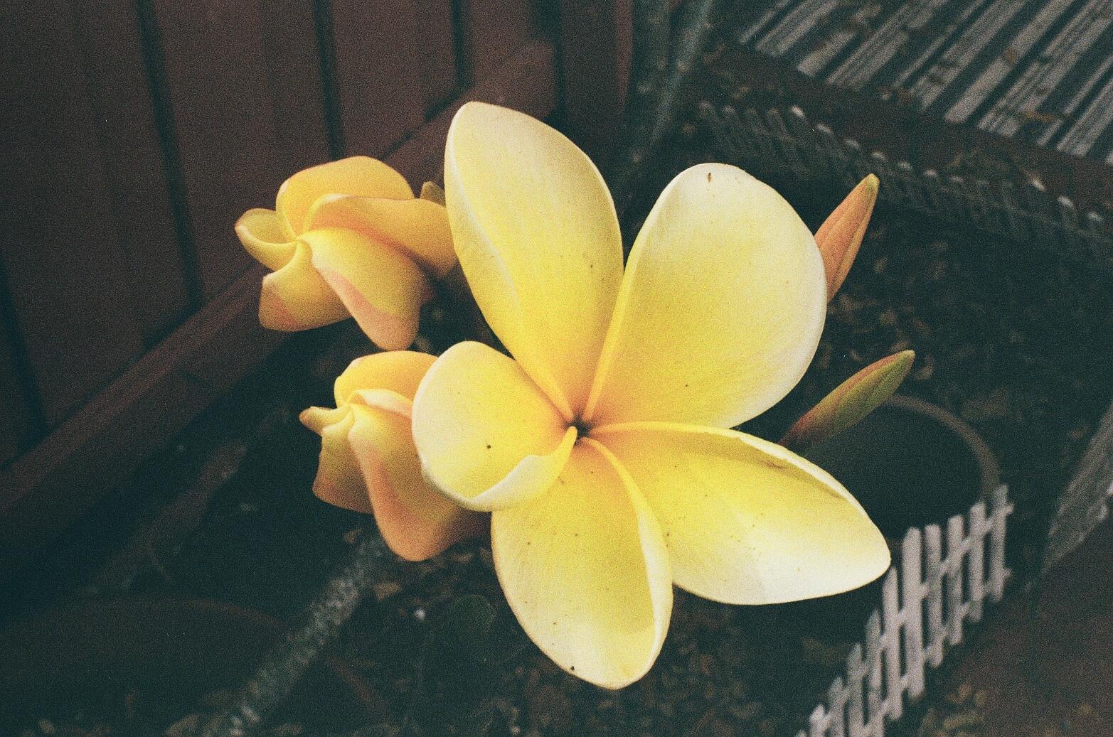 First of the Season | Joy Marie | Pentax K1000 | Kodak Gold 200