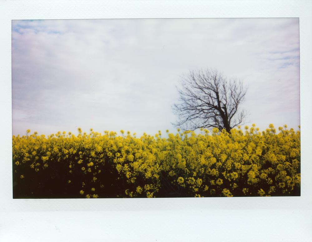 Yellow Oilseed | Fuji Instax Wide 210 | Roger Harrison