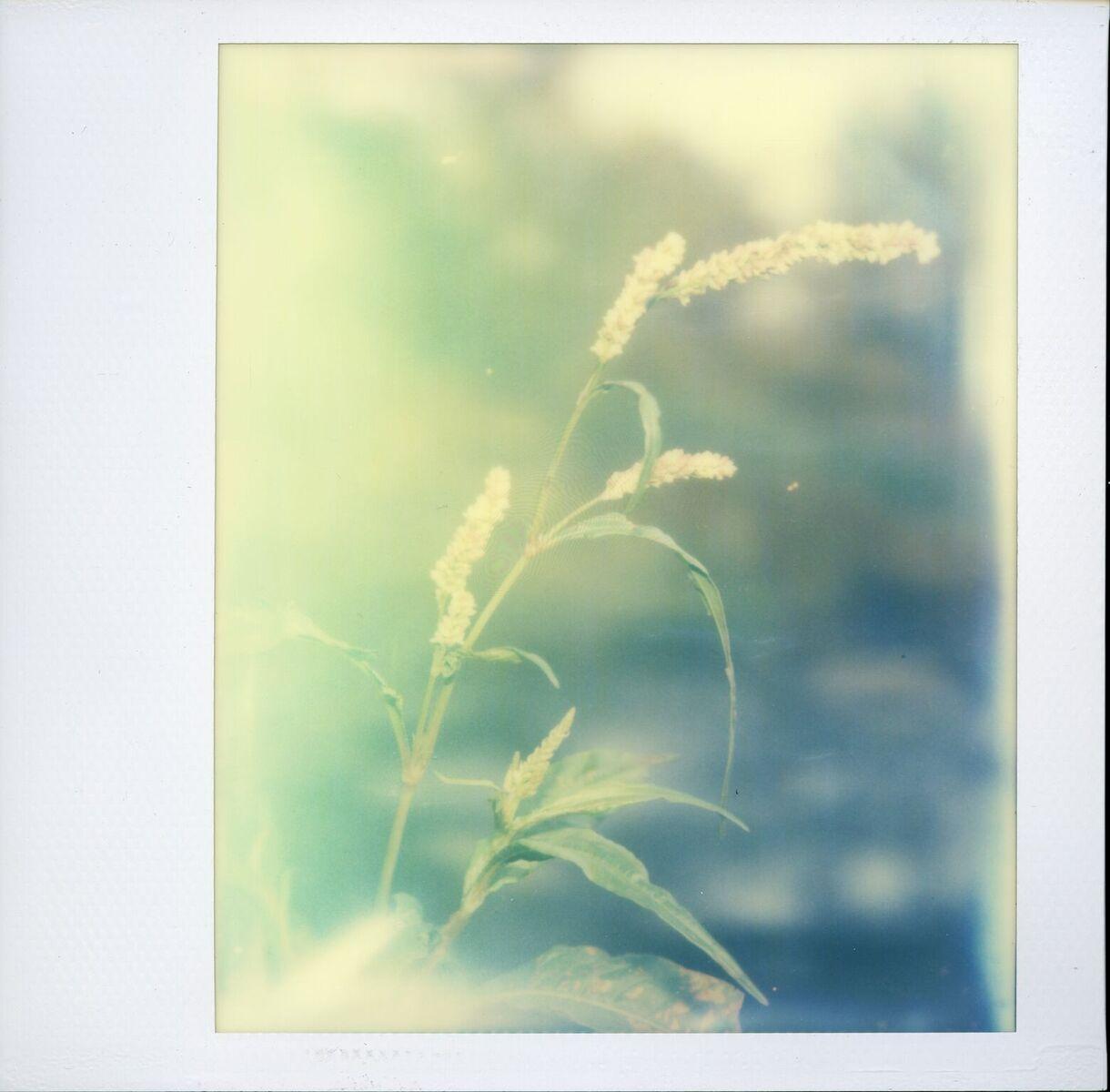 Fairy Grass | Polaroid SX-70 | Impossible Project Spectra Color Gen 2 | Ecasy Chino