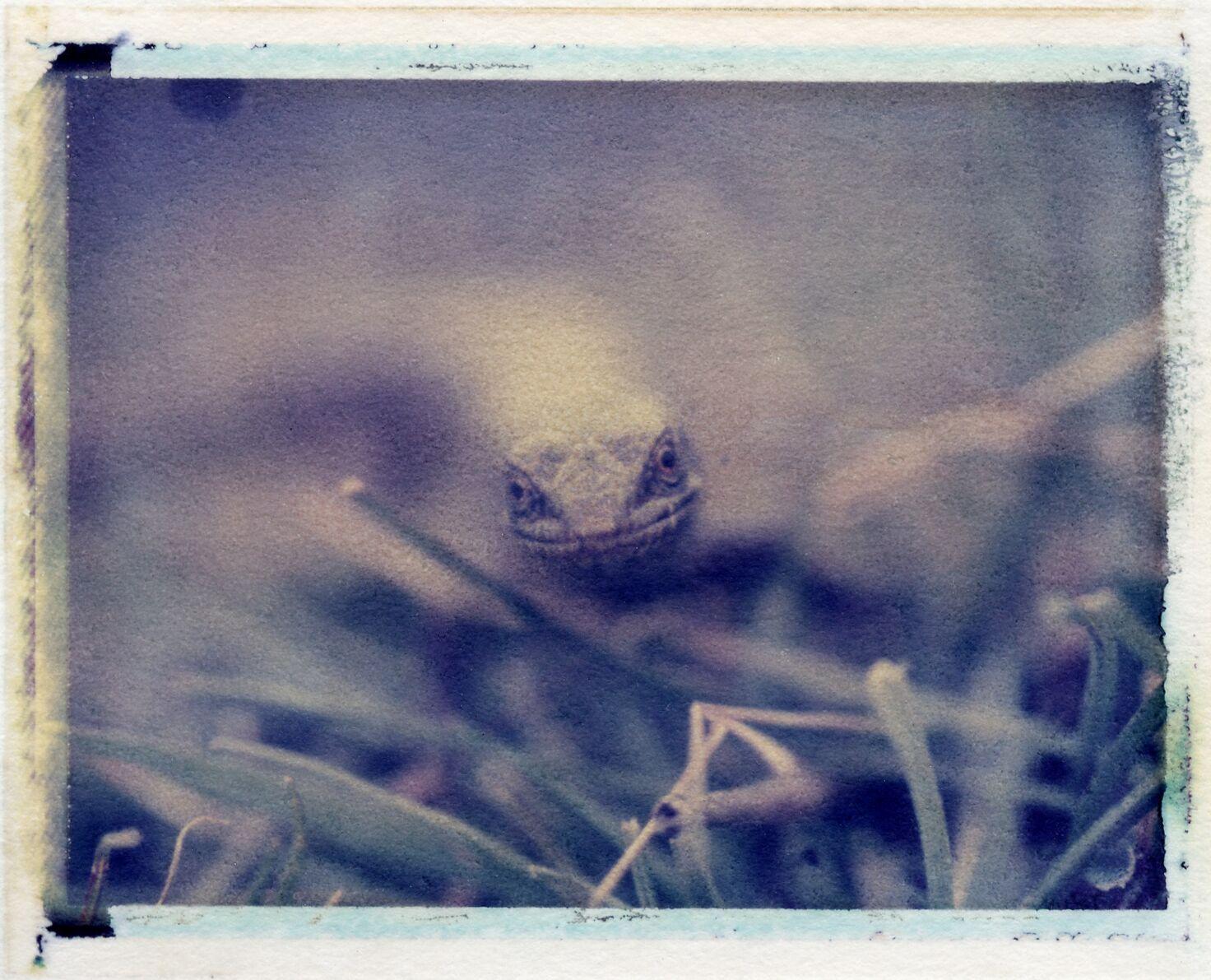 Alligator Lizard | Day Lab | Polaroid 669 film | Matt O'Brien