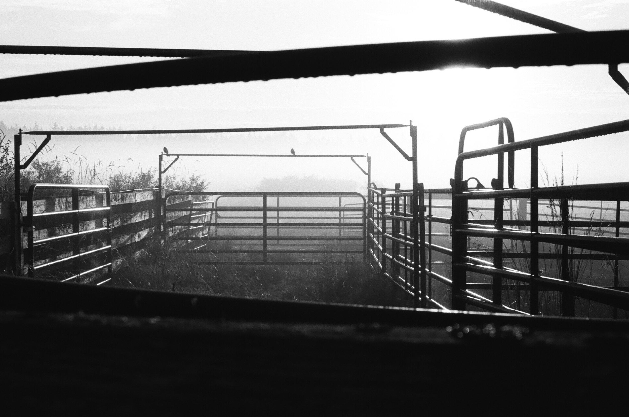 Alexander Lorden | Sweet Grass Beef Farm At Dawn | Olympus OM-1 | KodakTri-X 400