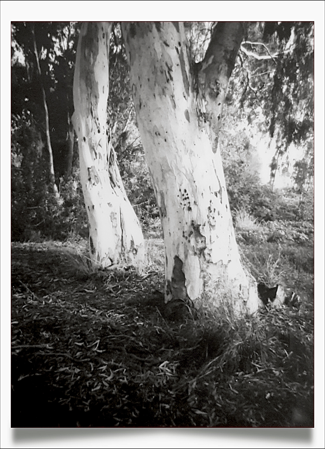 Eucalyptus Tree | Lomo Automat | Fuji Instax Mini | Daphne Schnitzer