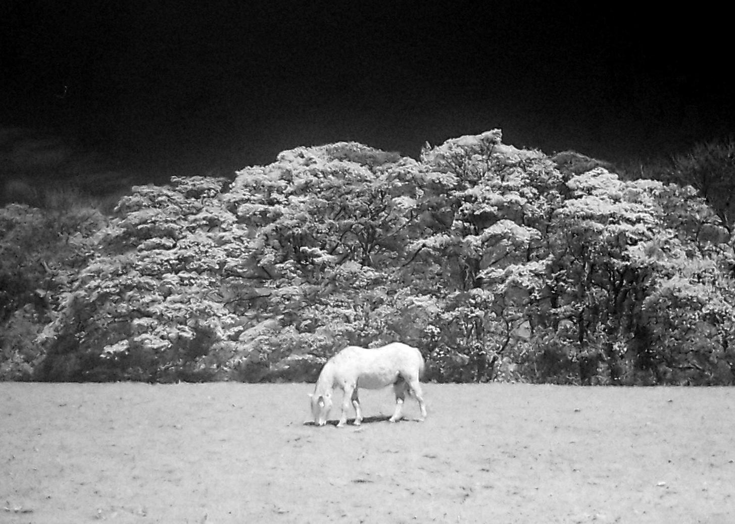 Pale Horse | Zenit TTL | Helios 44mm | Rollie IR 400 | Lucy Wainwright