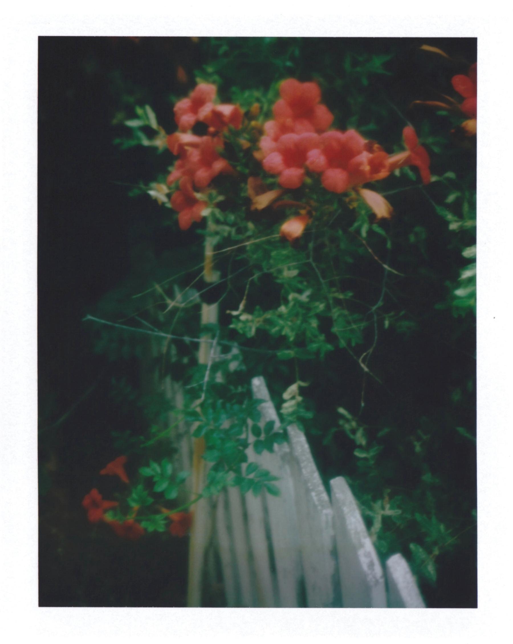 Trumpet Vine | Polaroid Automatic | Kenneth Johnson