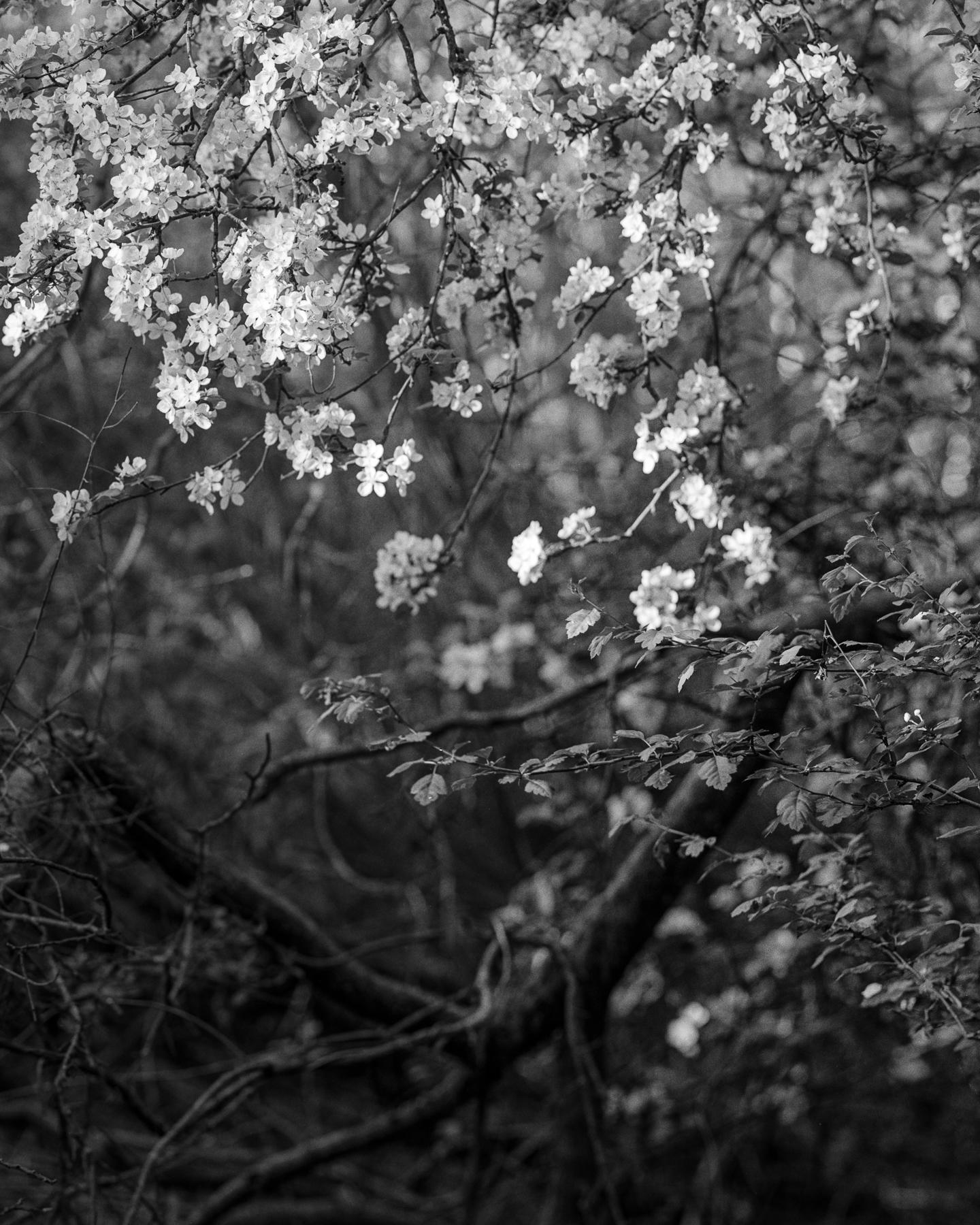 Blossom | Intrepid 4x5 | Darren Rose