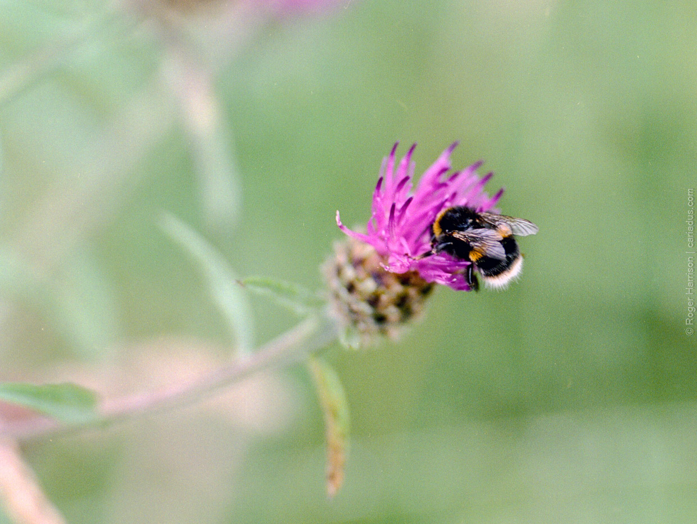 Pollination | Hasselblad H1 | Fuji Pro 400h | Roger Harrison