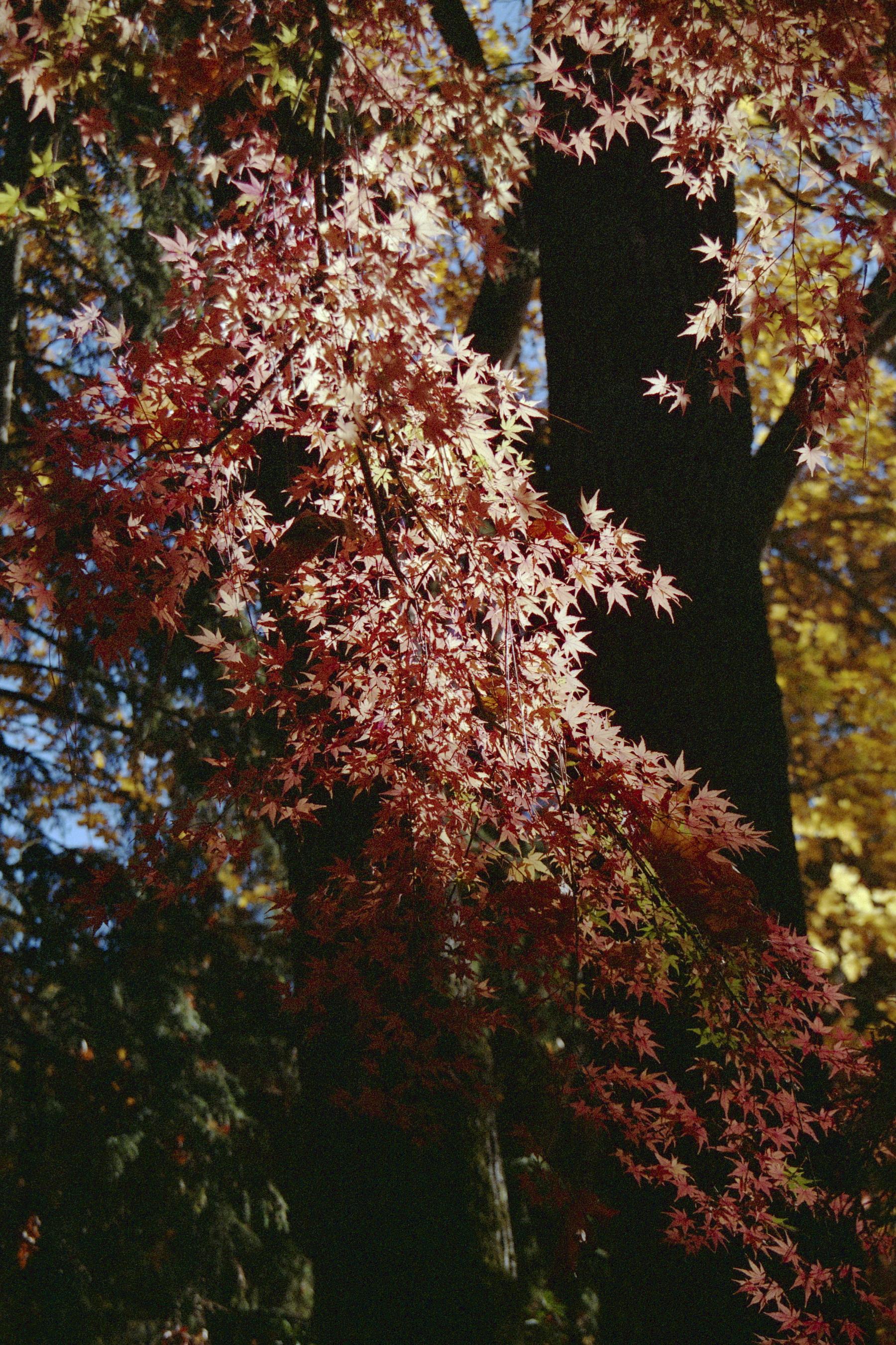 Lithia Tree   Pentax SF1   Fuji 400   Shona Allen
