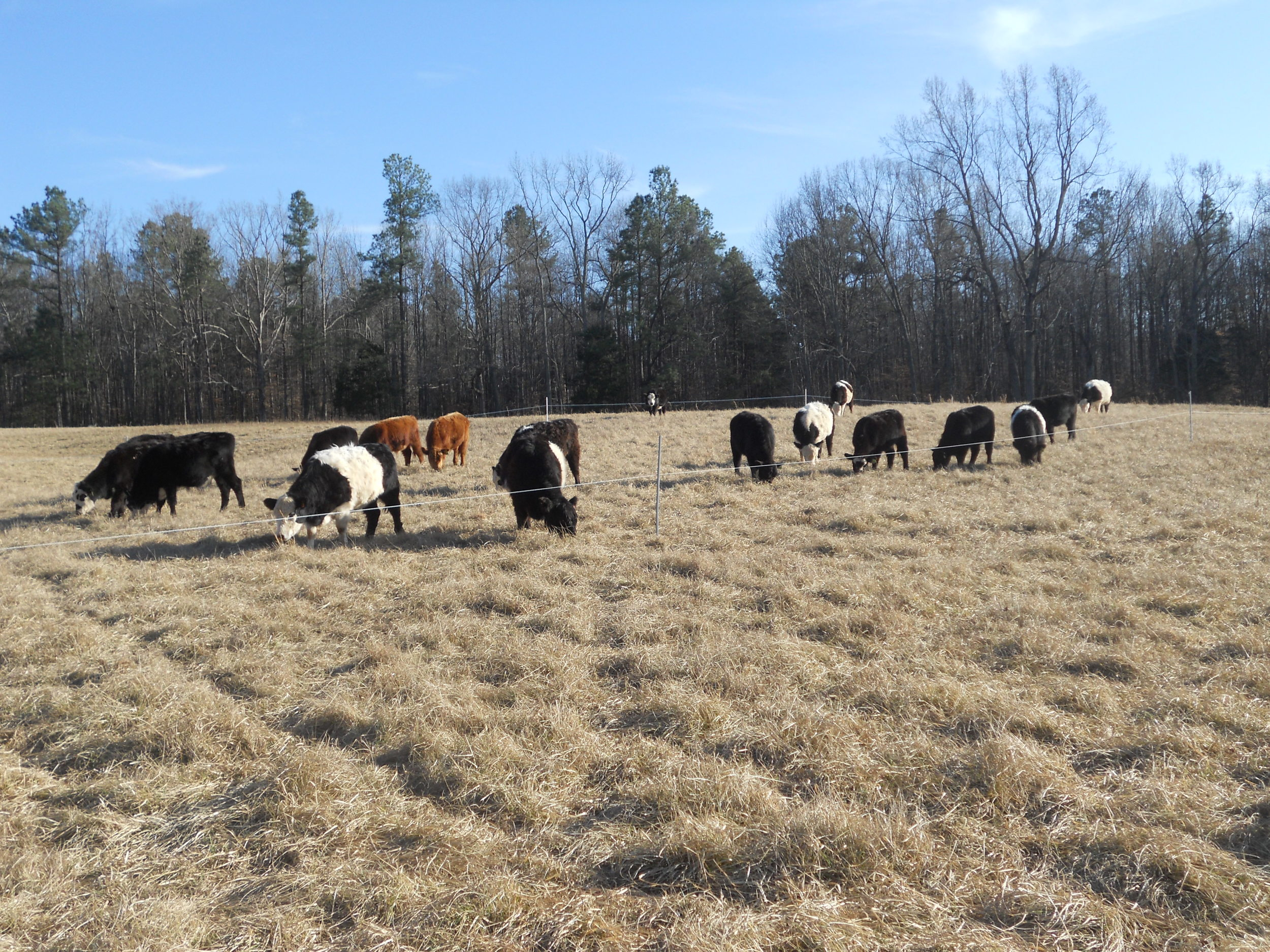 cattle grazing stockpiled grass