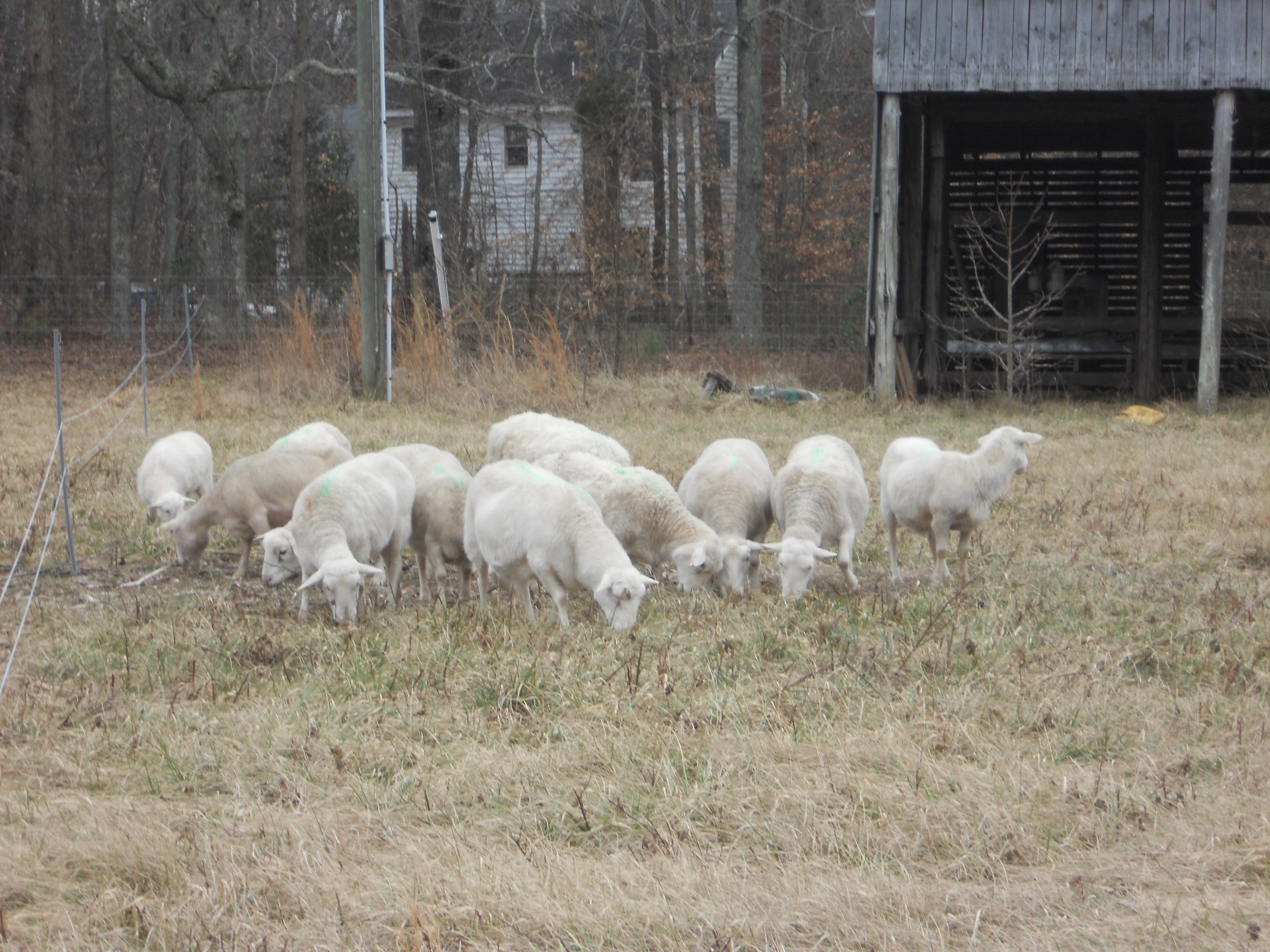 our ewes grazing in front of the barn