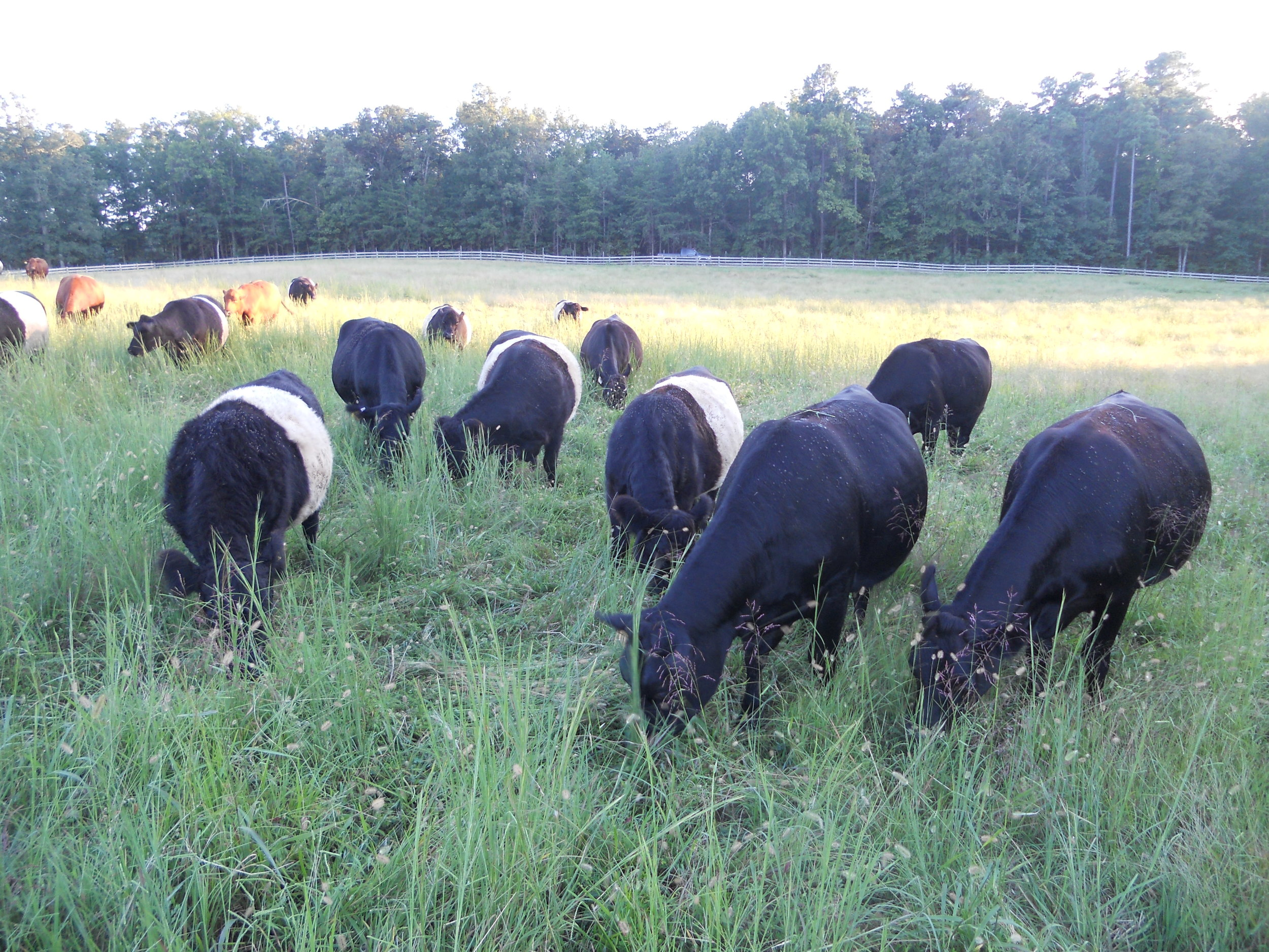 grassfed cow herd