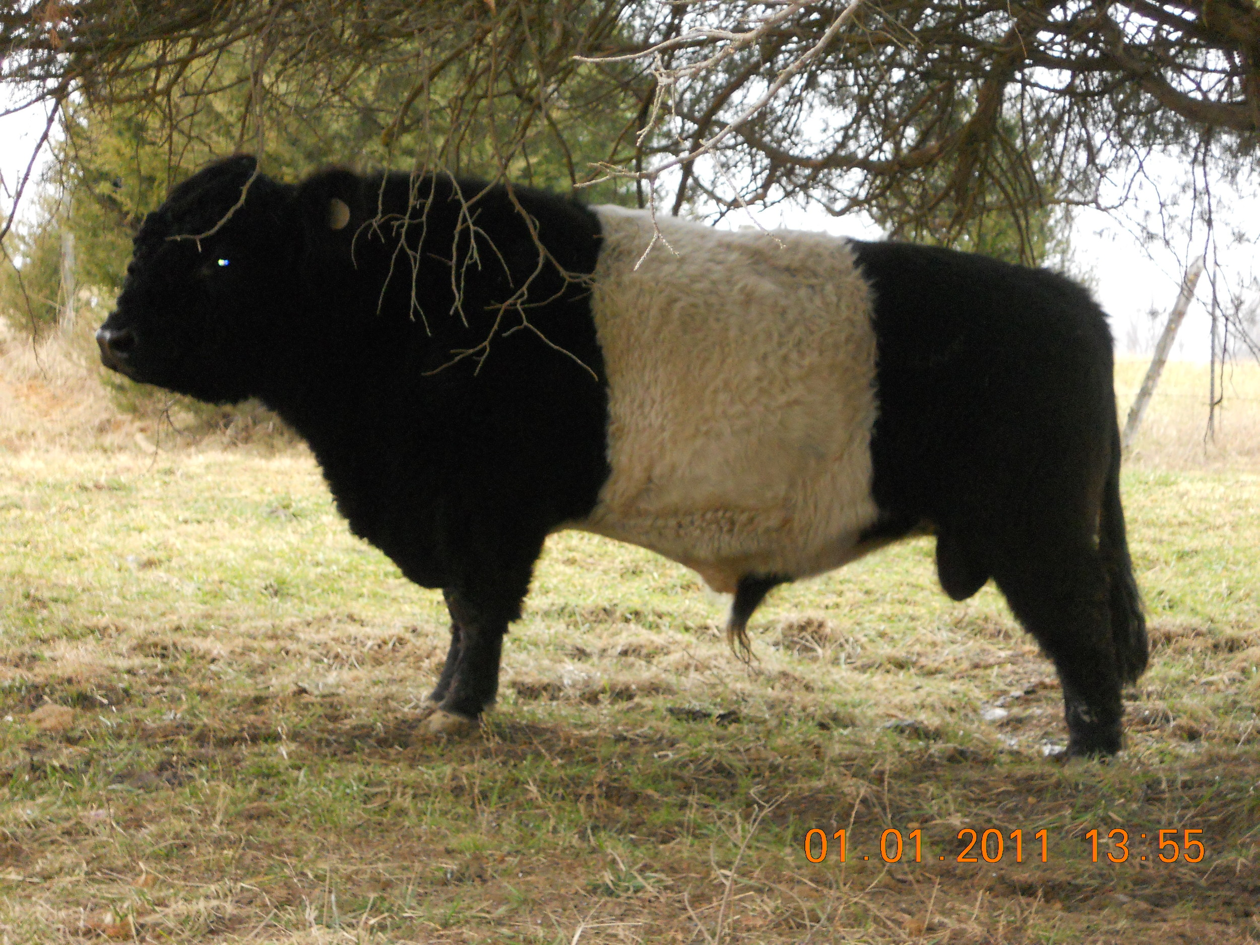 Ajax, the Belted Galloway bull