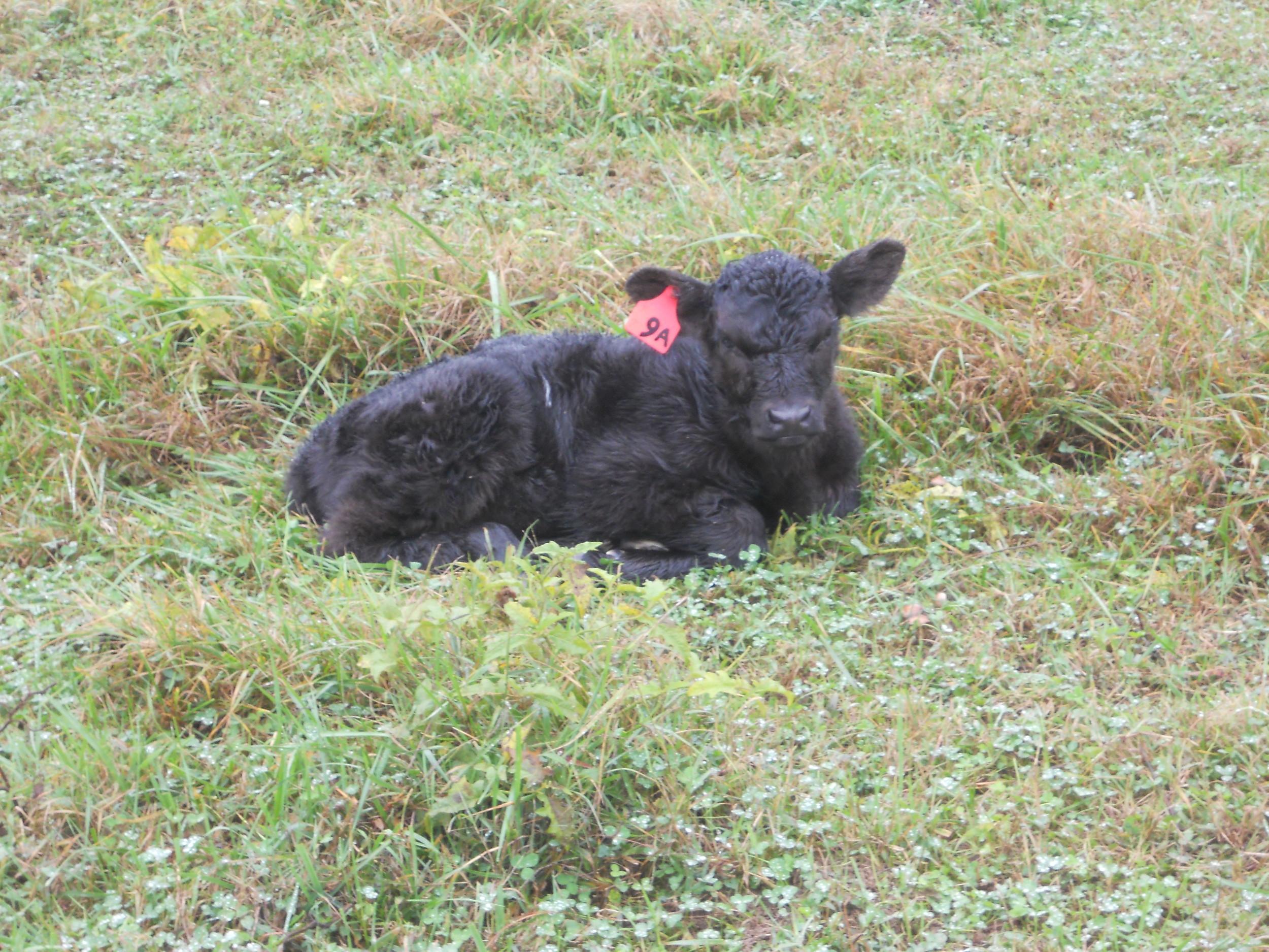 crossbred calf
