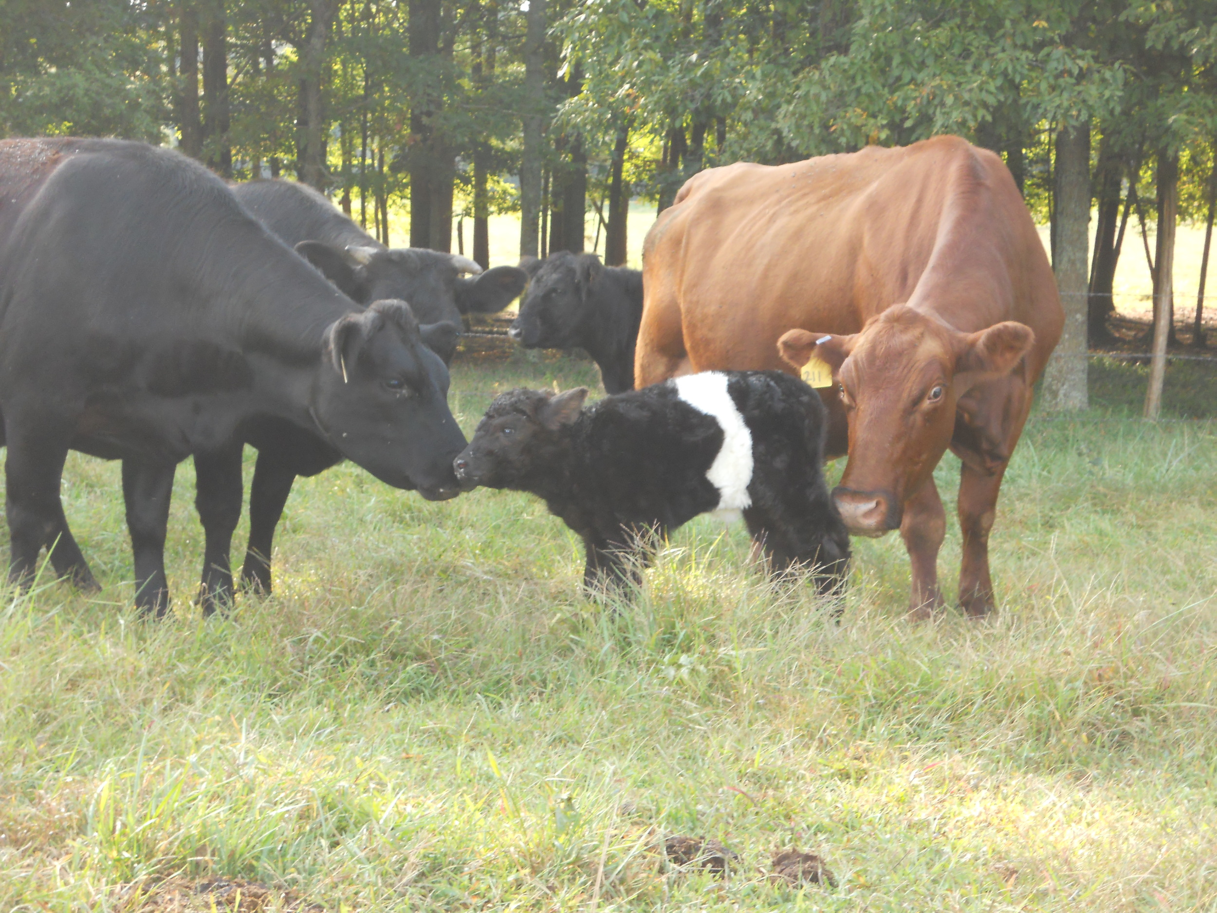 Cows checking out new calf