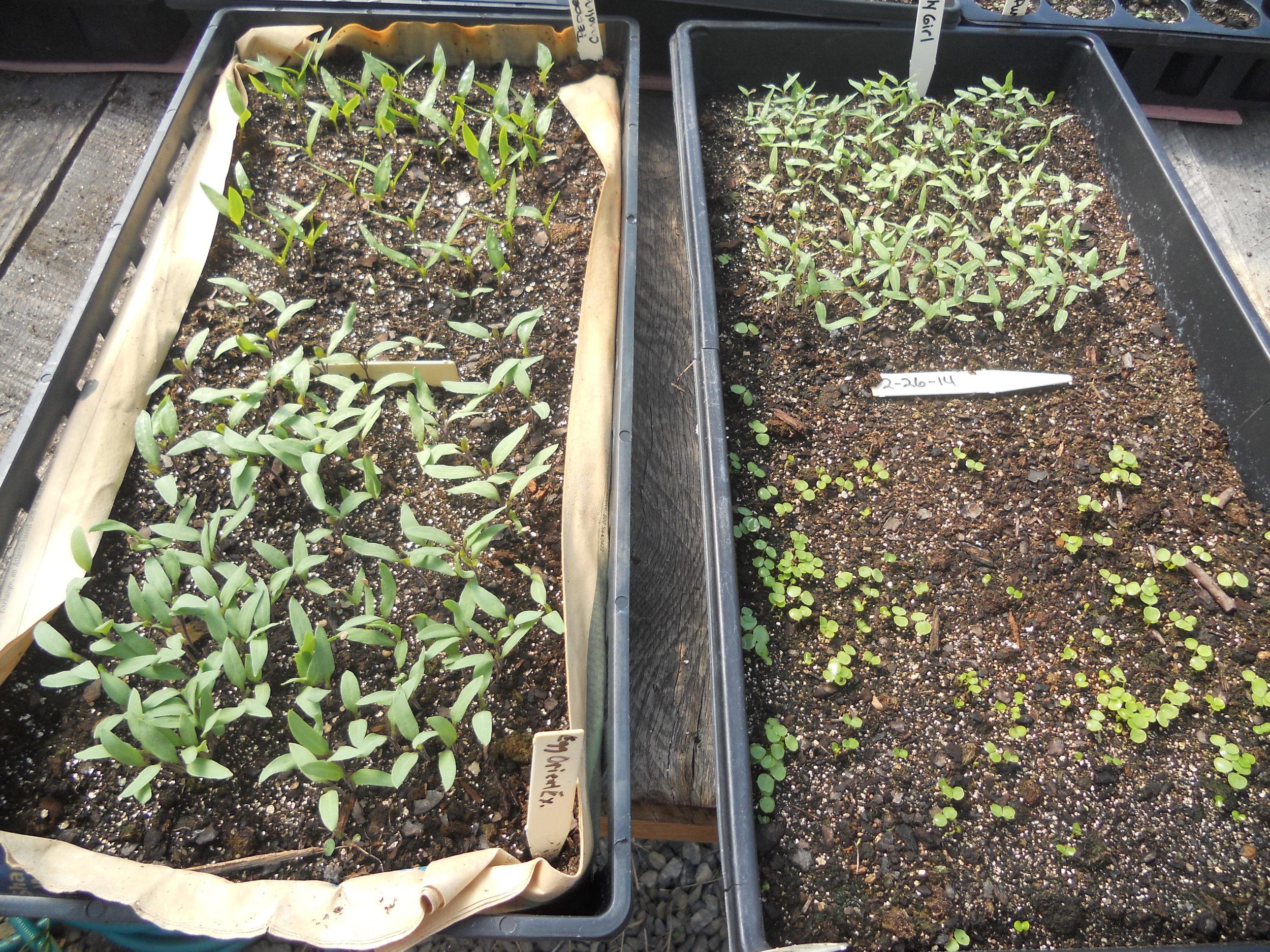 eggplant, pepper, tomato and impatien sprouts