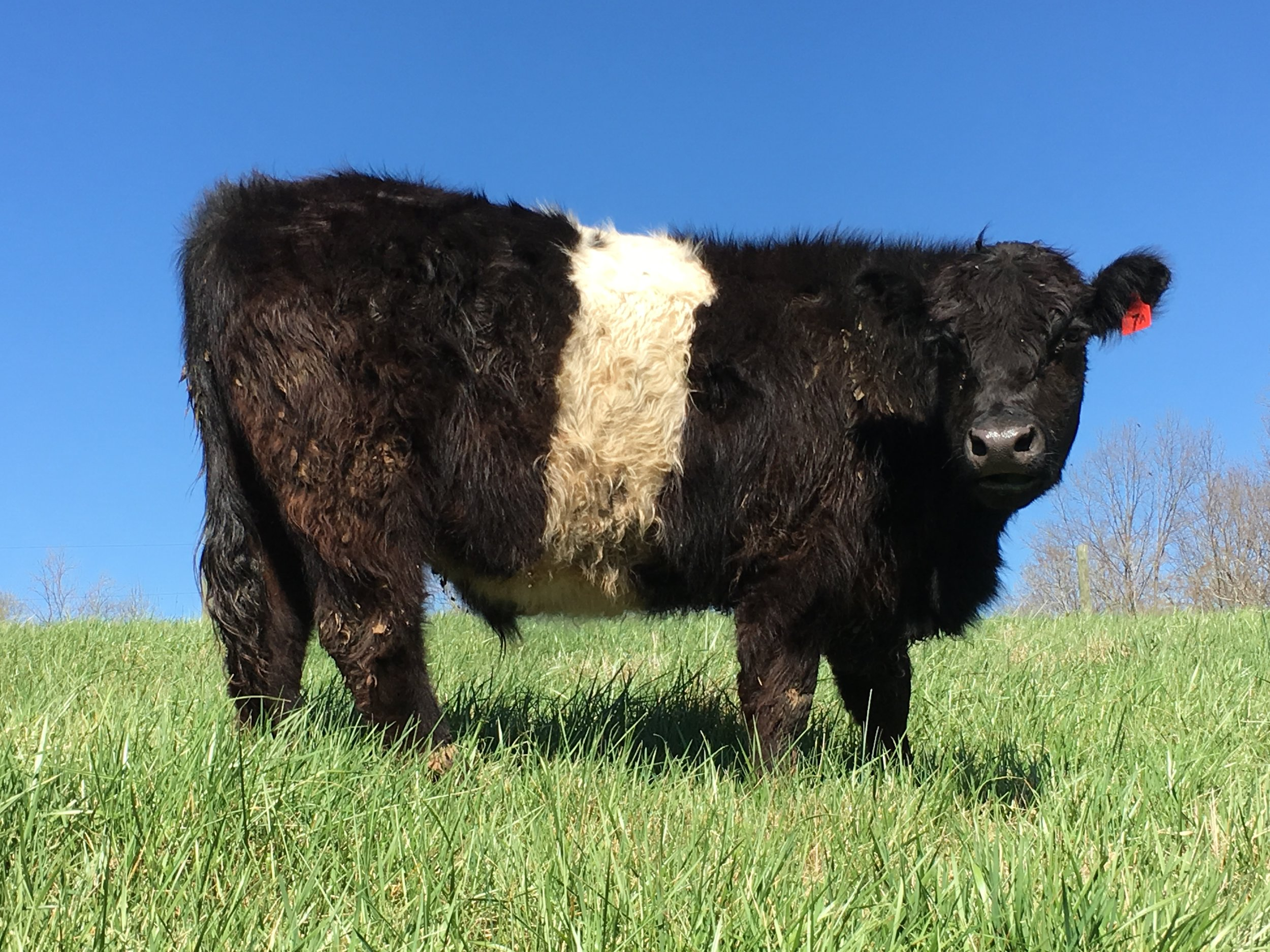 fat steer