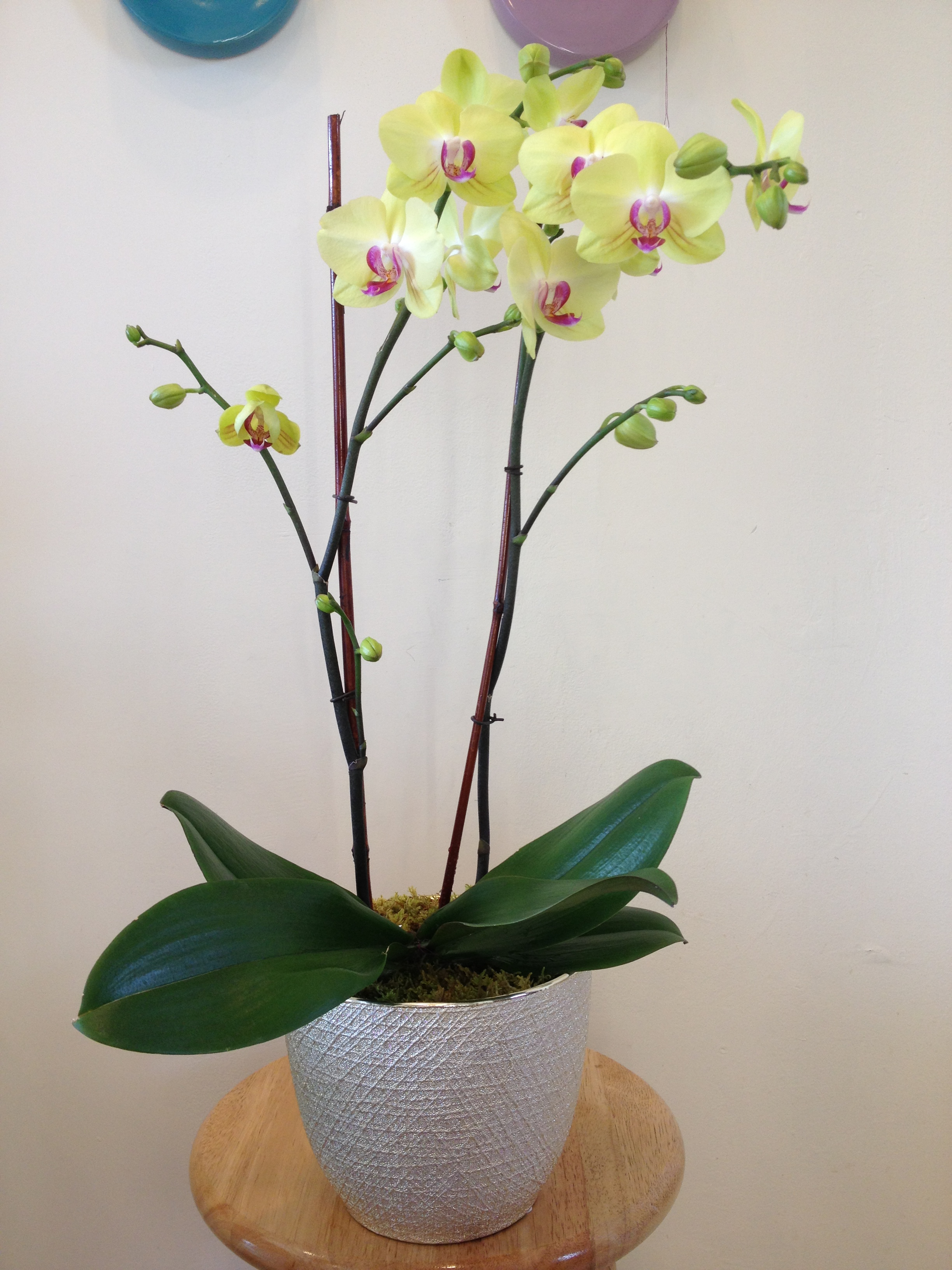 Double-Stem Orchid - $89
